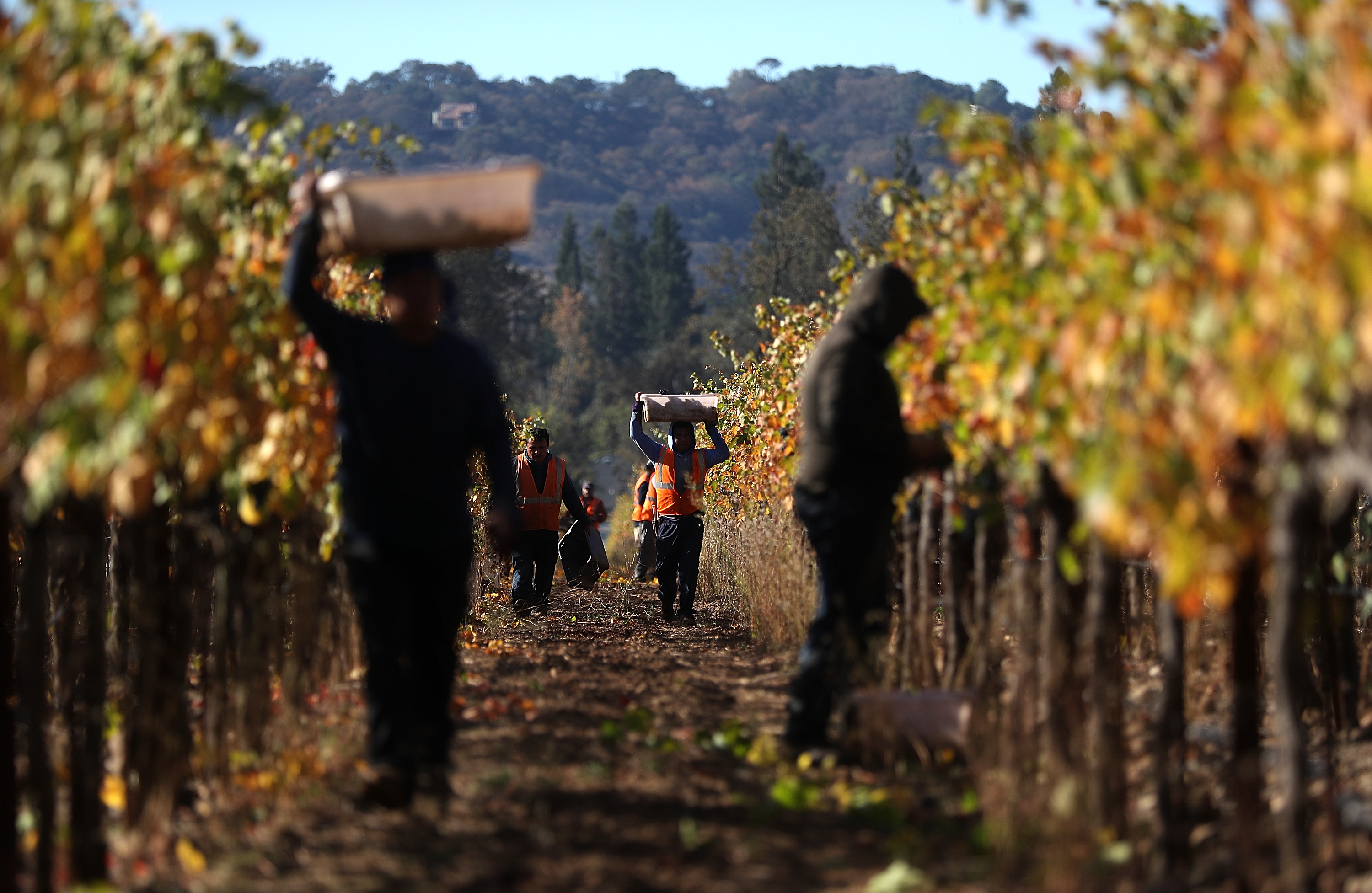 Sonoma County Winery Harvests Grapes Late In Season, After Being Delayed By Devastating Wildfires In Region