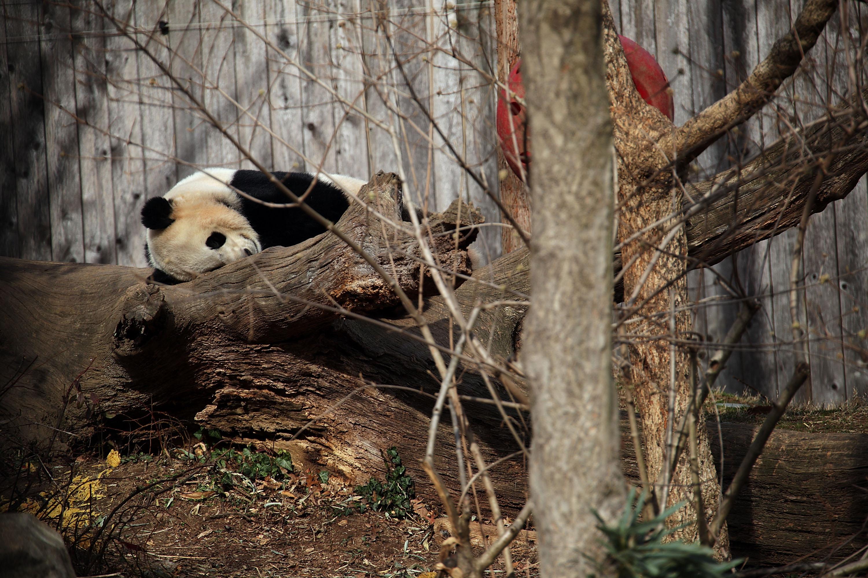 Beloved Panda Bao Bao Departs Washington's National Zoo For China