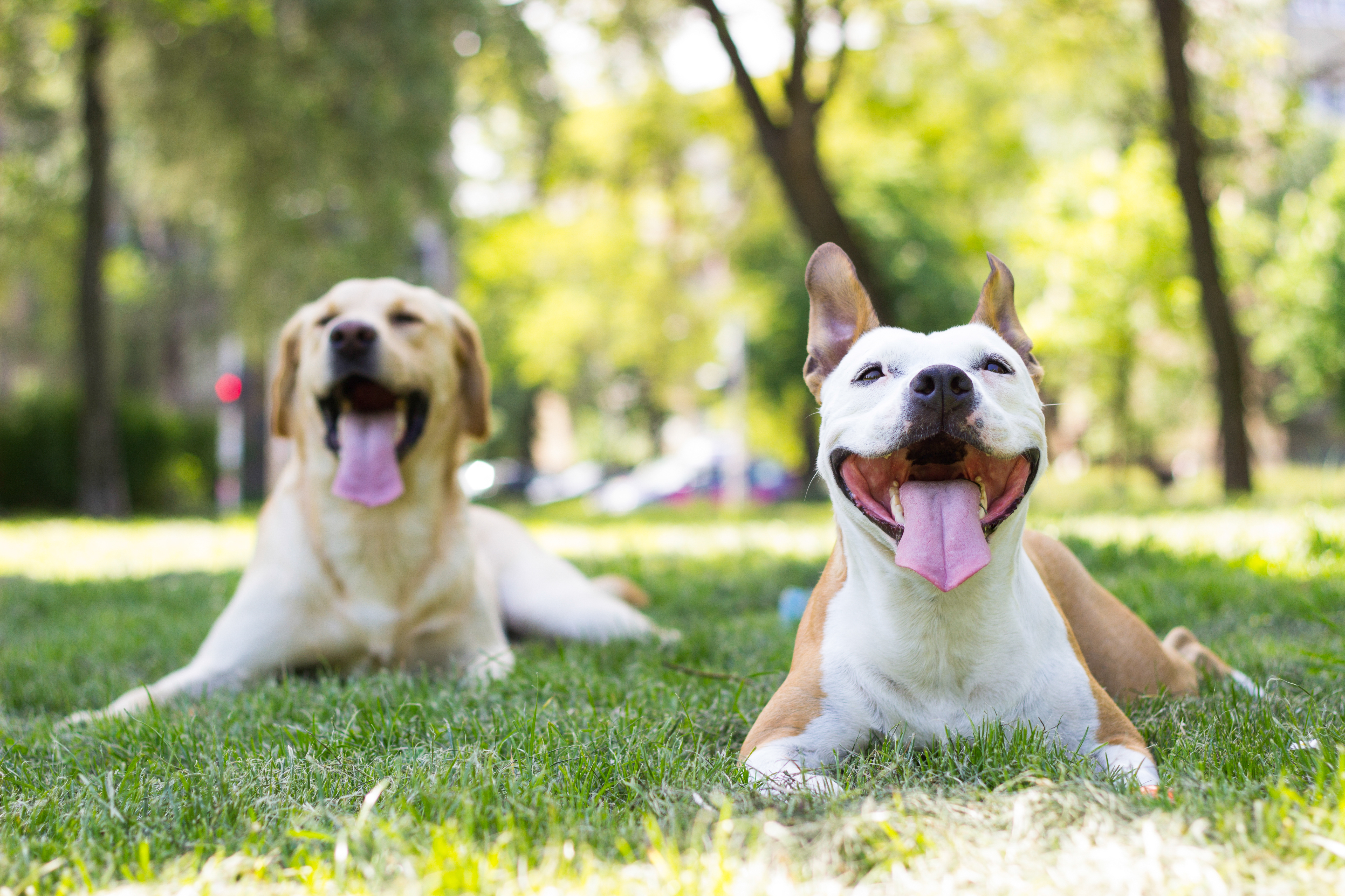 Two light-colored dogs panting on the grass on a sunny day in a park.