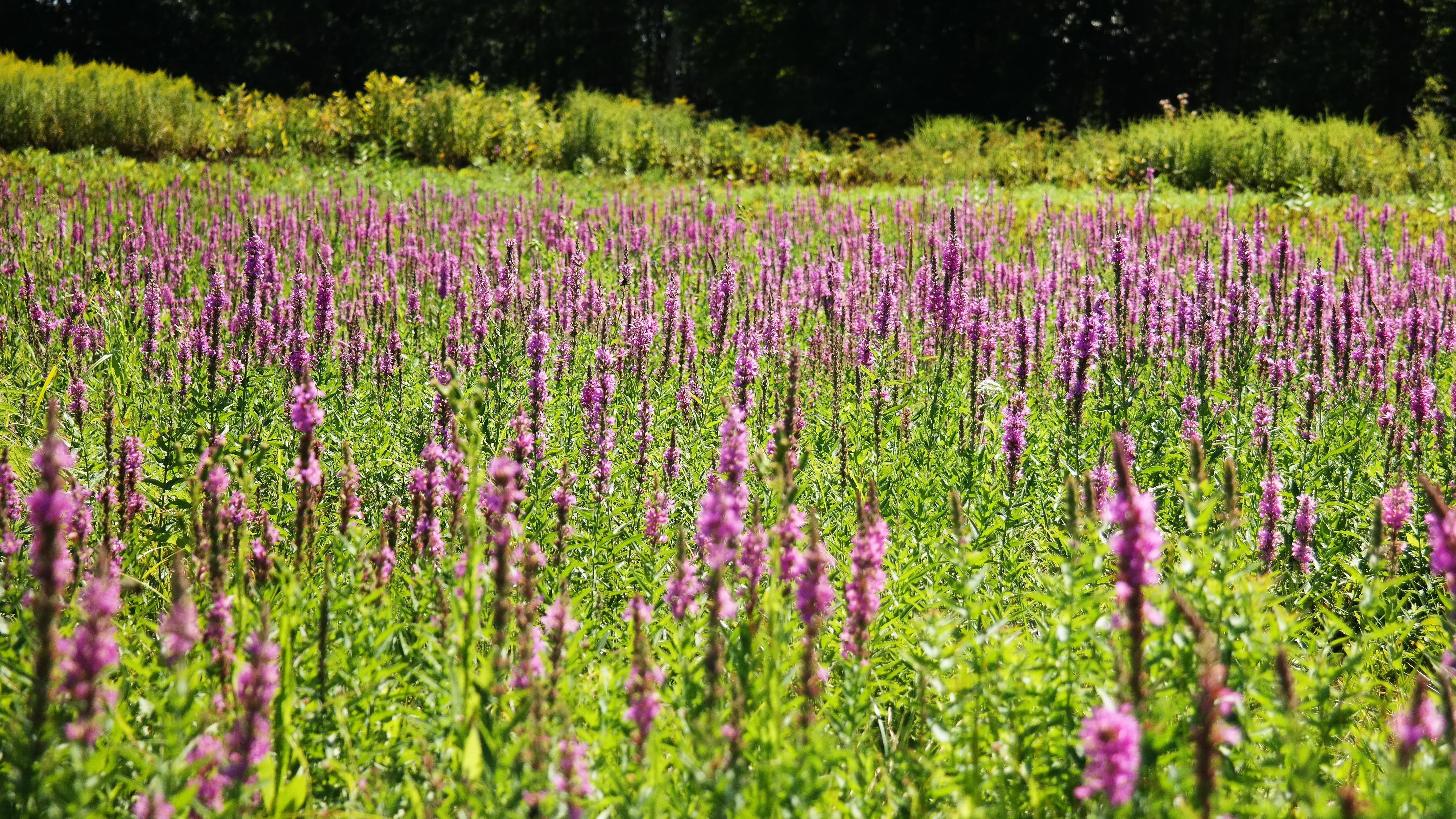 A field of purple wildflowers.