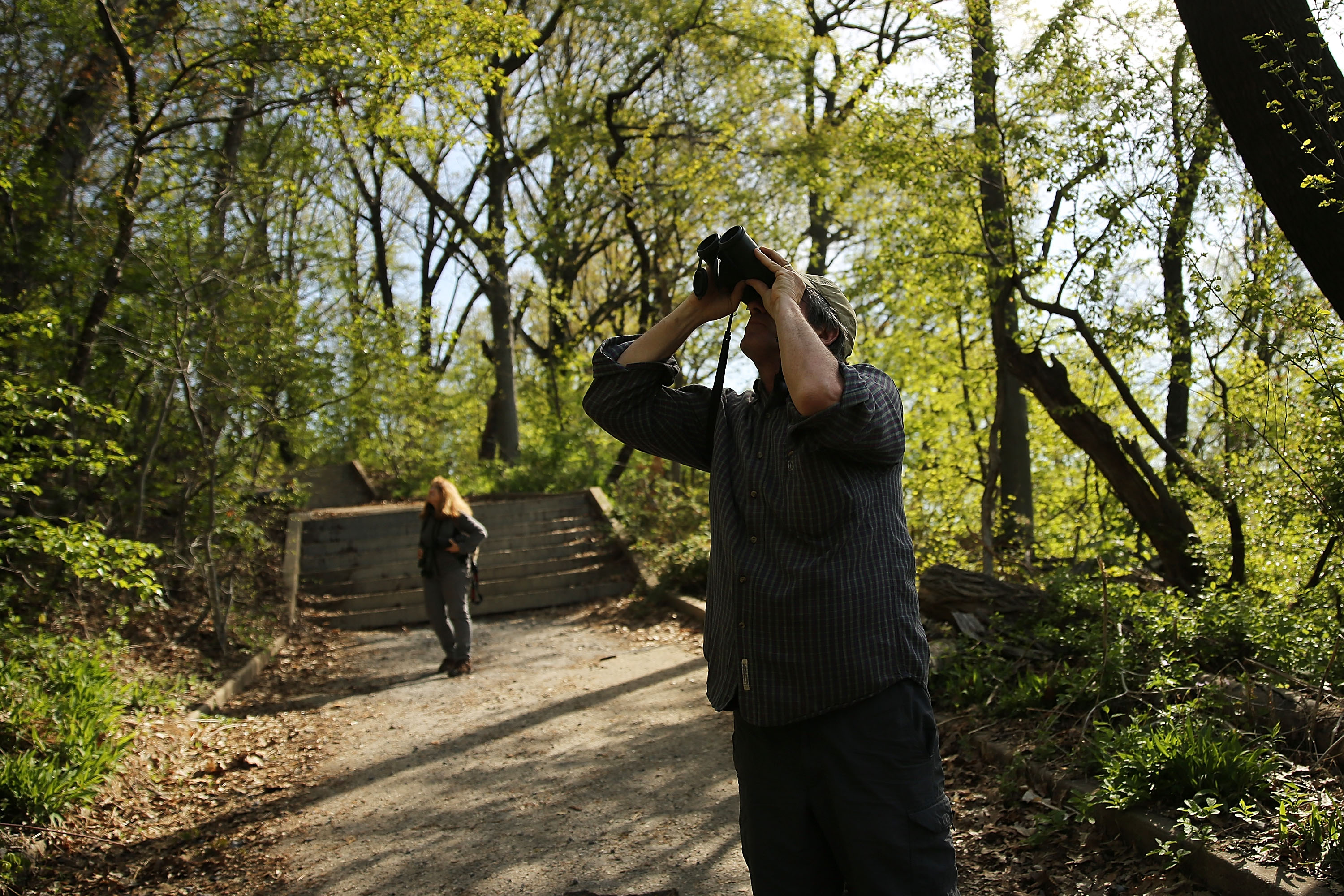 A man holding binoculars to his face gazes up into the green canopy of trees.