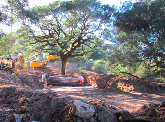 An oak tree in the midst of being dug up.