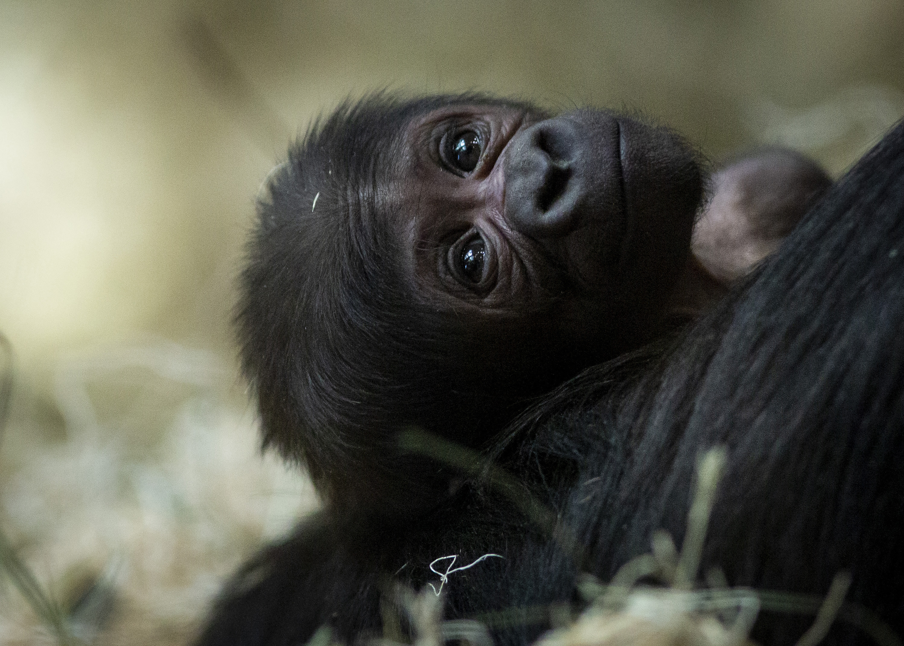 085398a6d0c8 Baby gorilla born at Lincoln Park Zoo on Mother s Day