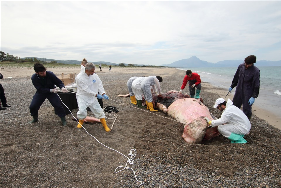 Workers move a sperm whale that washed ashore in Italy this week. Local researchers found that the whale had eaten numerous plastic items.