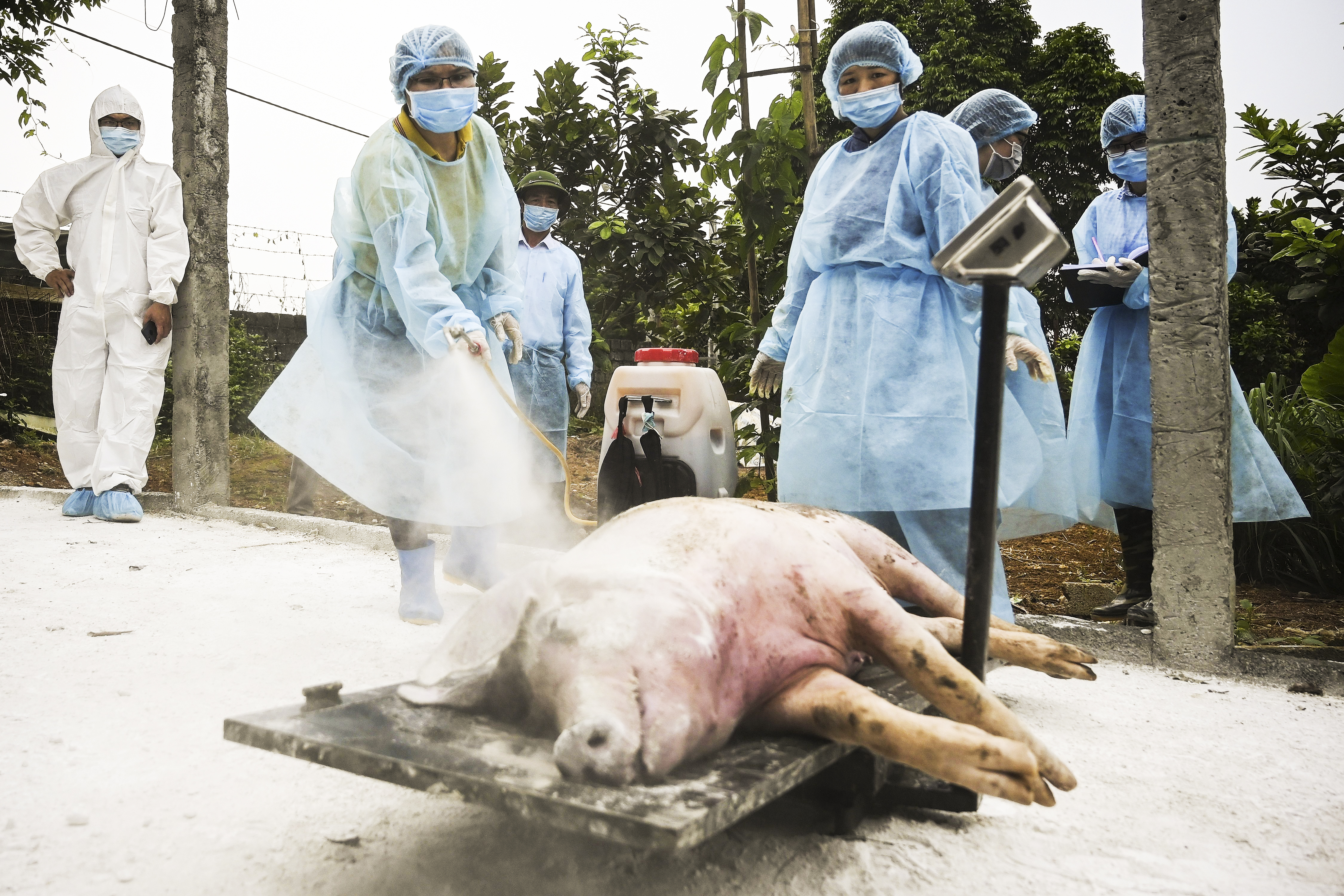 """""""Pig Ebola"""" is spreading uncontrollably in China and Vietnam"""