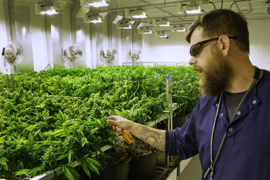 """Lead grower Dave Wilson cares for marijuana plants in the """"Flower Room"""" at the Ataraxia medical marijuana cultivation center in Albion."""