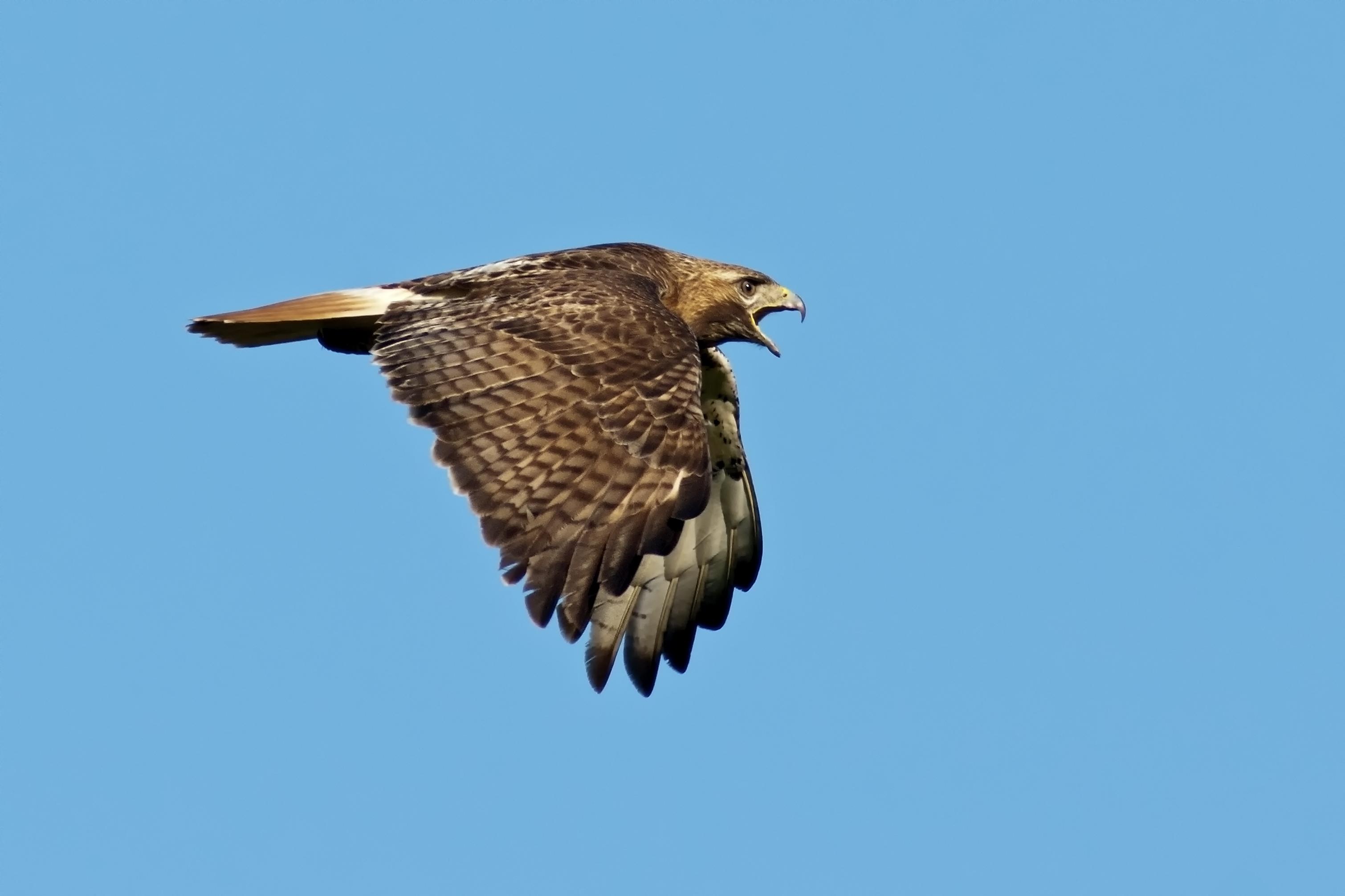 A brown hawk flies in a blue sky, mouth agape.