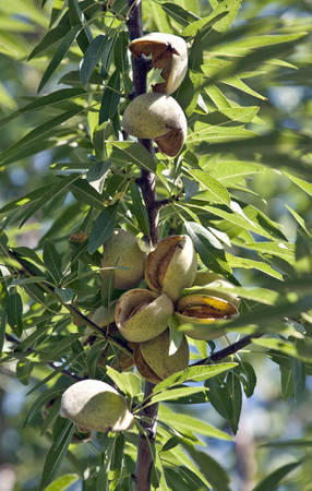 In this Aug. 10, 2010, file photo almonds ready for harvest are seen at a farm in Hilmar, Calif.