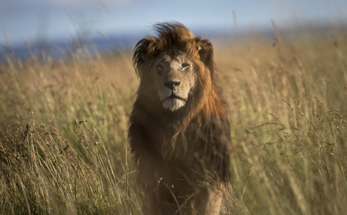 In this photo taken Tuesday, July 7, 2015, an old male lion raises his head above the long grass in the early morning, in the savannah of the Maasai Mara, south-western Kenya.
