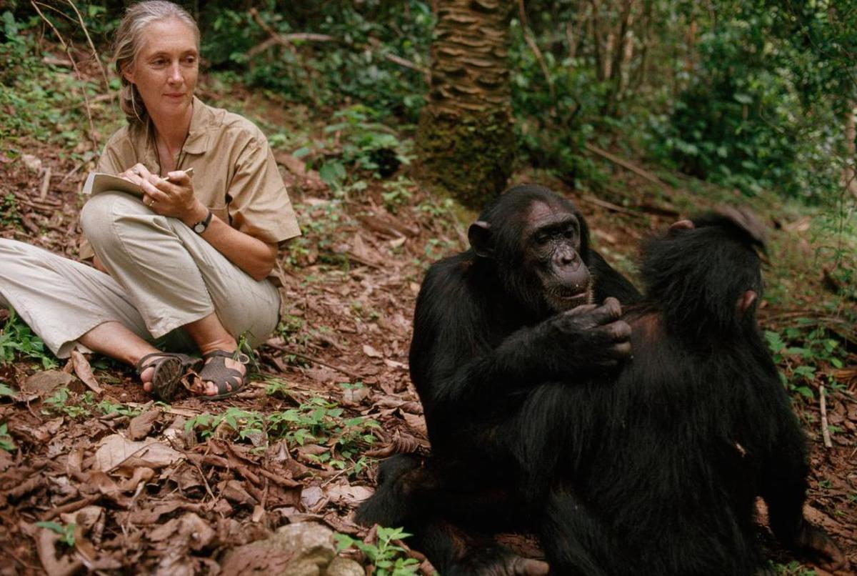 """Jane Goodall interacts with chimpanzees in Tanzania's Gombe Stream National Park in """"Jane."""""""