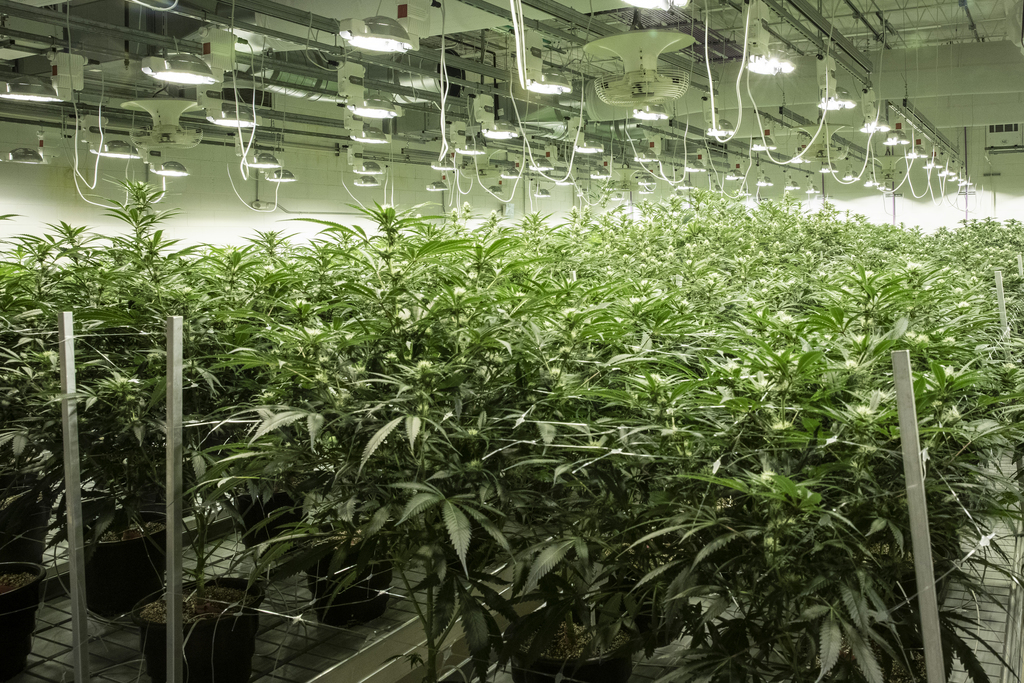 Medical marijuana grows in the flowering room at Illinois Grown Medicine in Elk Grove Village in May.