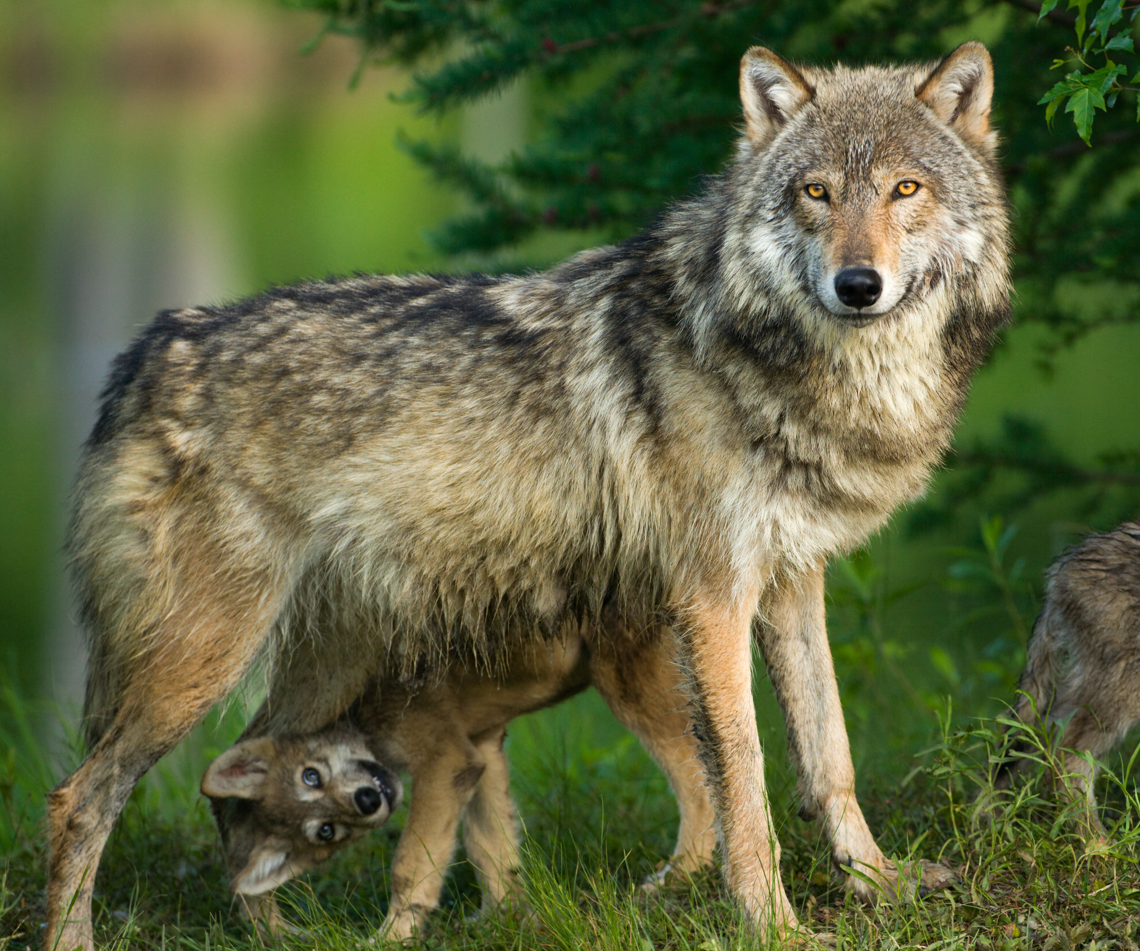Trump's plan to take wolves off the endangered species list is deeply flawed
