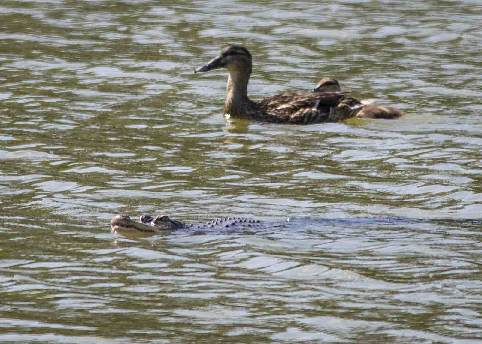 Alligator swimming in Humboldt Park Lagoon.