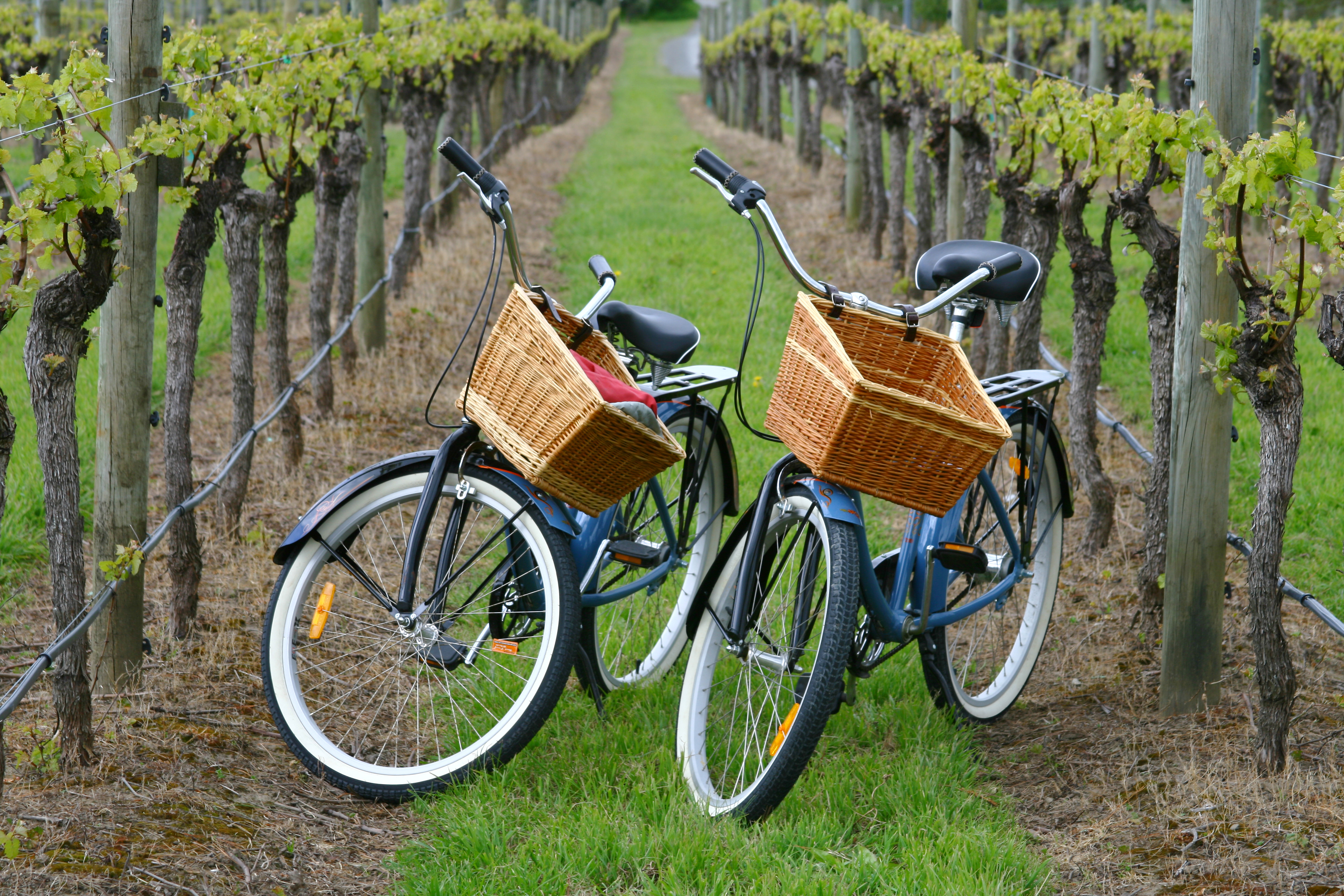 Two bicycles with painted blue frames and wicker baskets hanging from the handlebars sit in the middle of a vineyard. There are rows of vines on both sides of the bicycles.