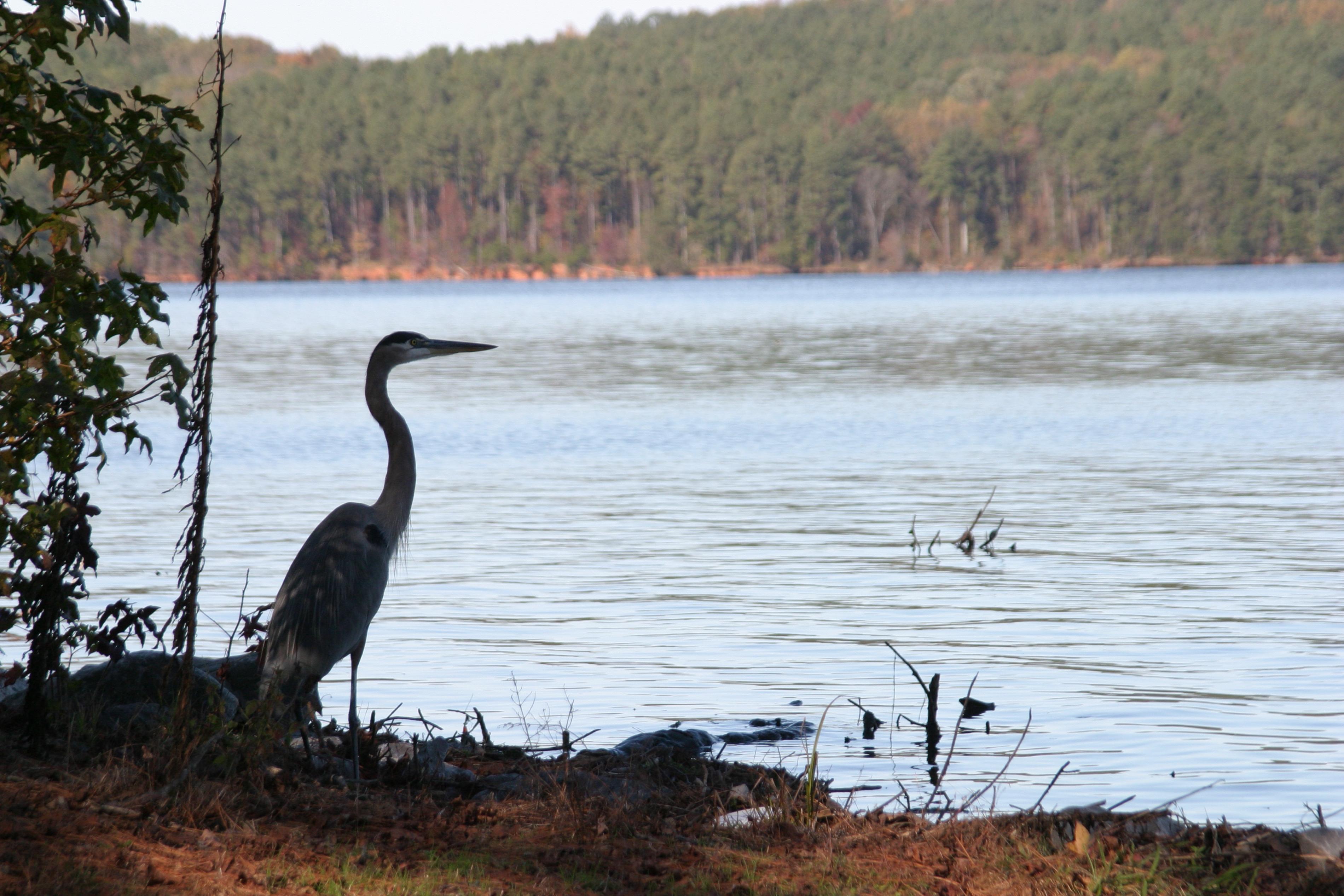 "<p zoompage-fontsize=""15"" style="""">A great blue heron at Lake Guntersville State Park."