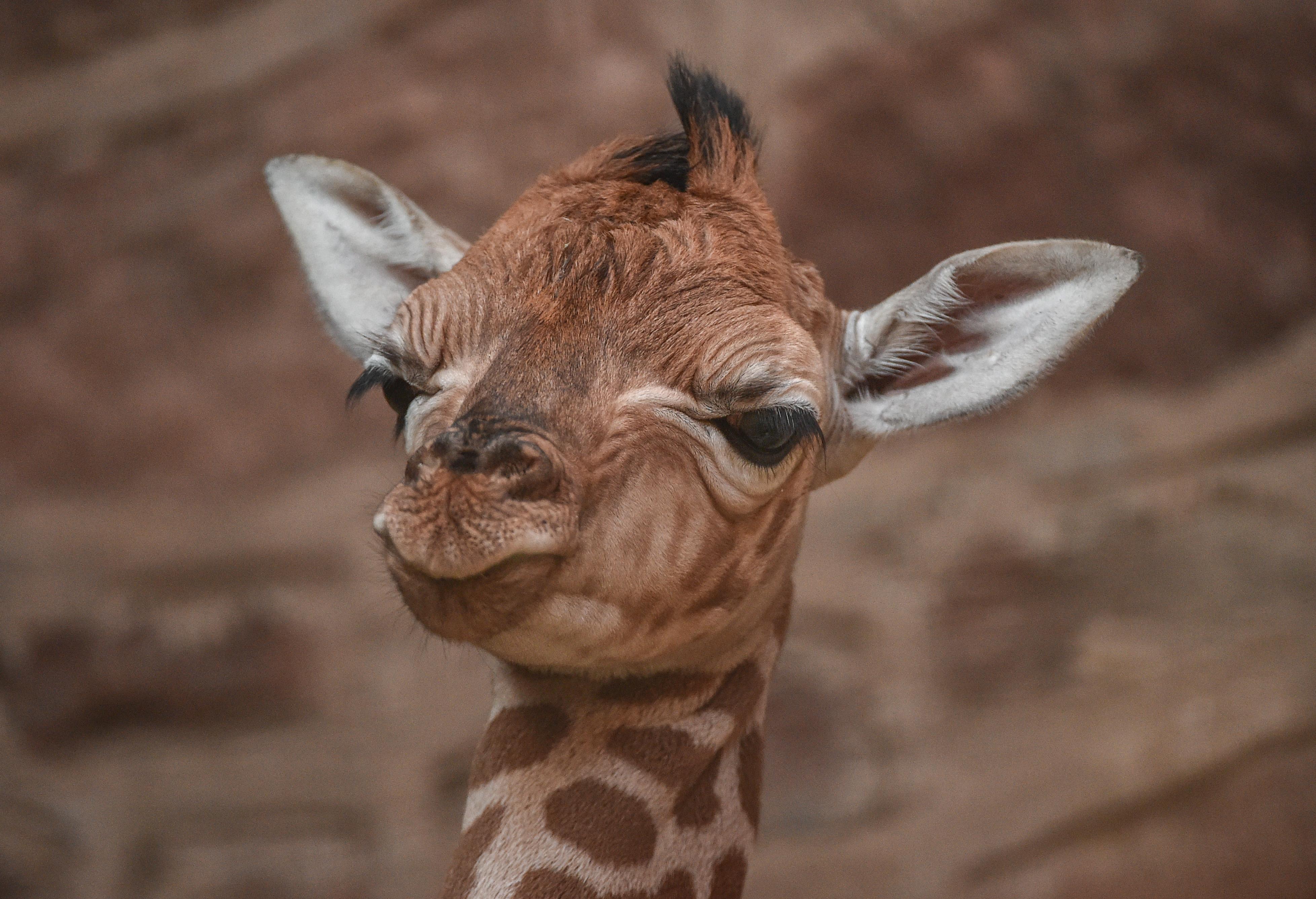 Giraffe Calf Falls Six Feet During Birth