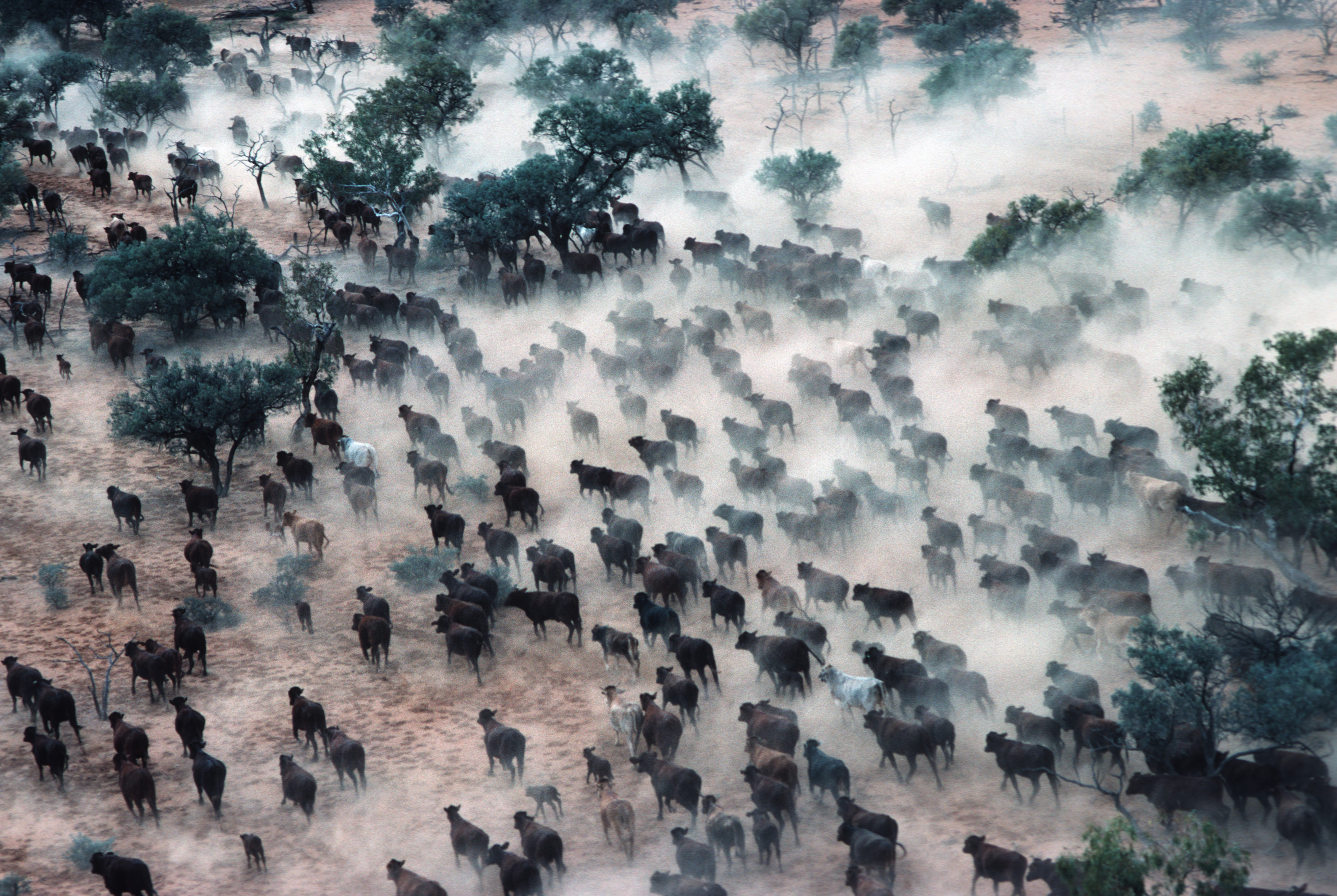Aerial scene of a cattle station or ranch in outback Australia with a cowboy on horseback herding and rounding up cows across the desert plains and into huge cattle pens.