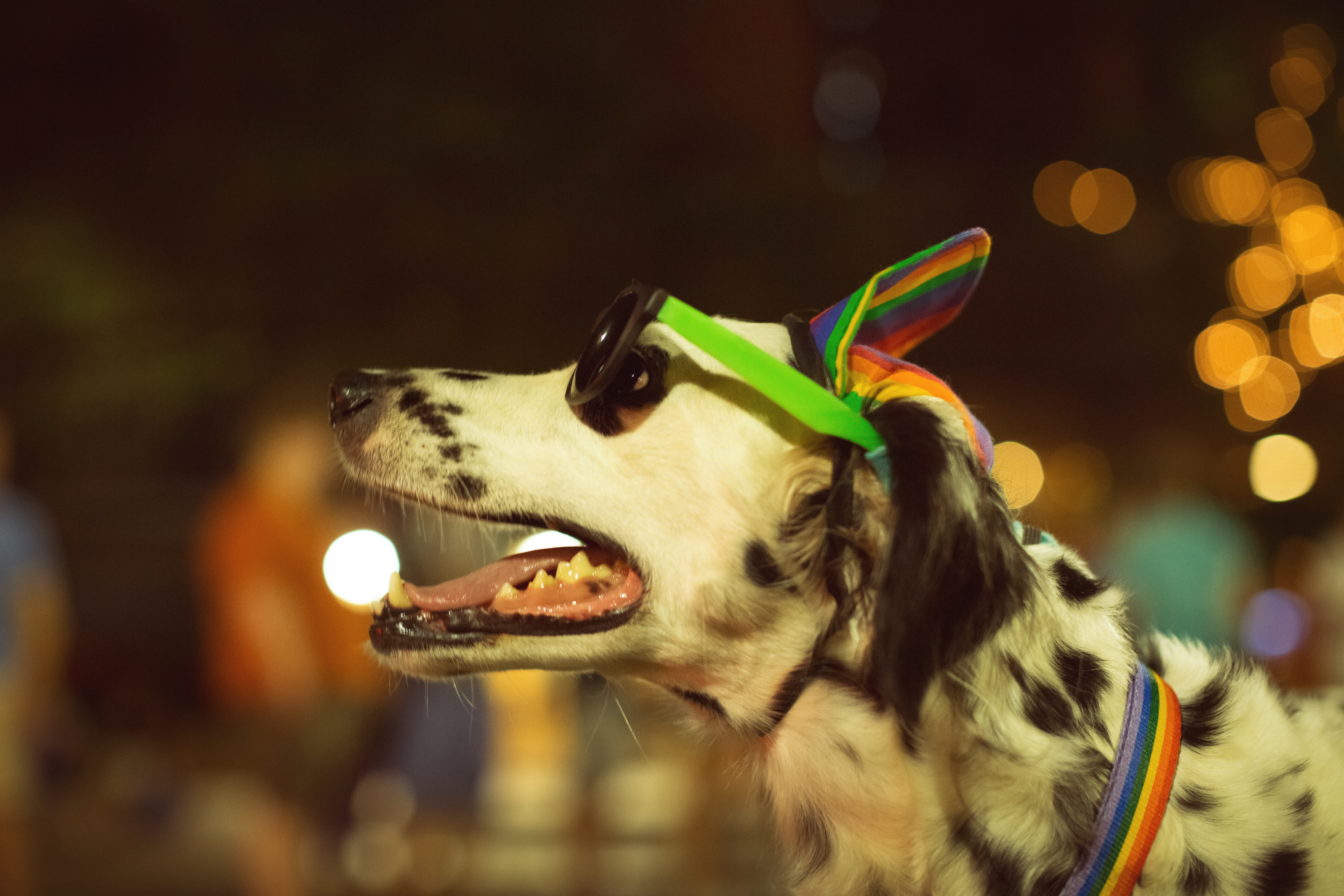 White dog with black spots, headband with rainbow-colored ears, rainbow leash and collar, against a blurry background of lights