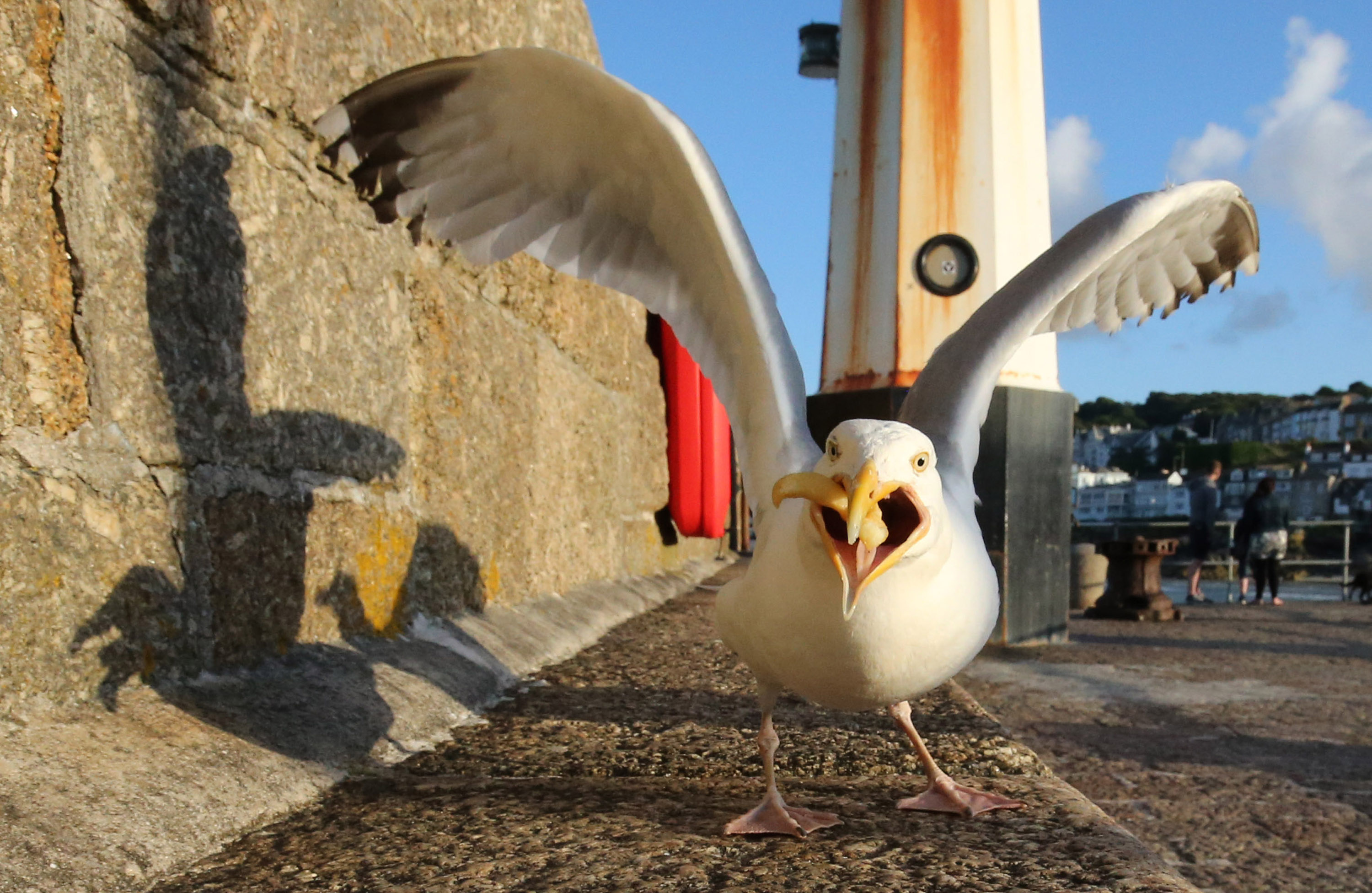 a seagull with its wings aggressively unfurled and seemingly mid-squawk with a french fry in its mouth stairs down the camera