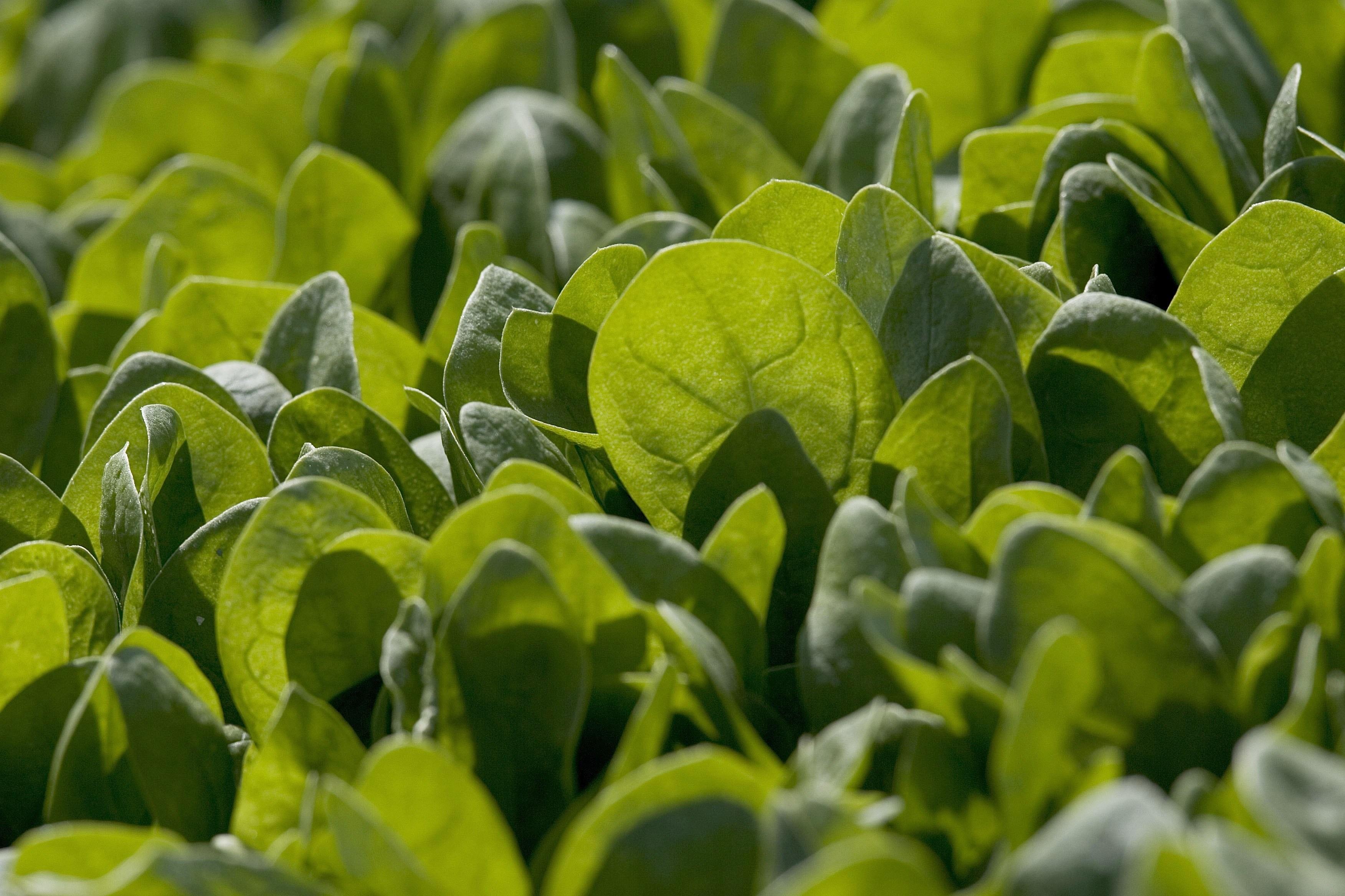 Spinach Growers Tally Losses As E. Coli Investigation Continues