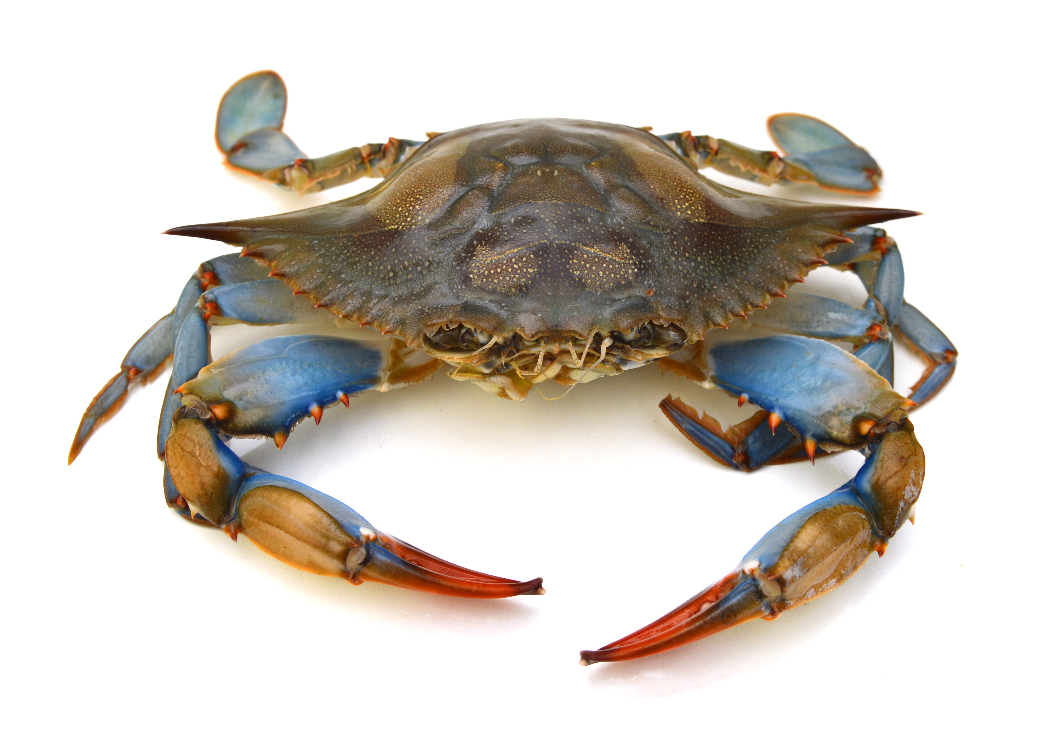 A Chesapeake Bay blue crab on a white background.