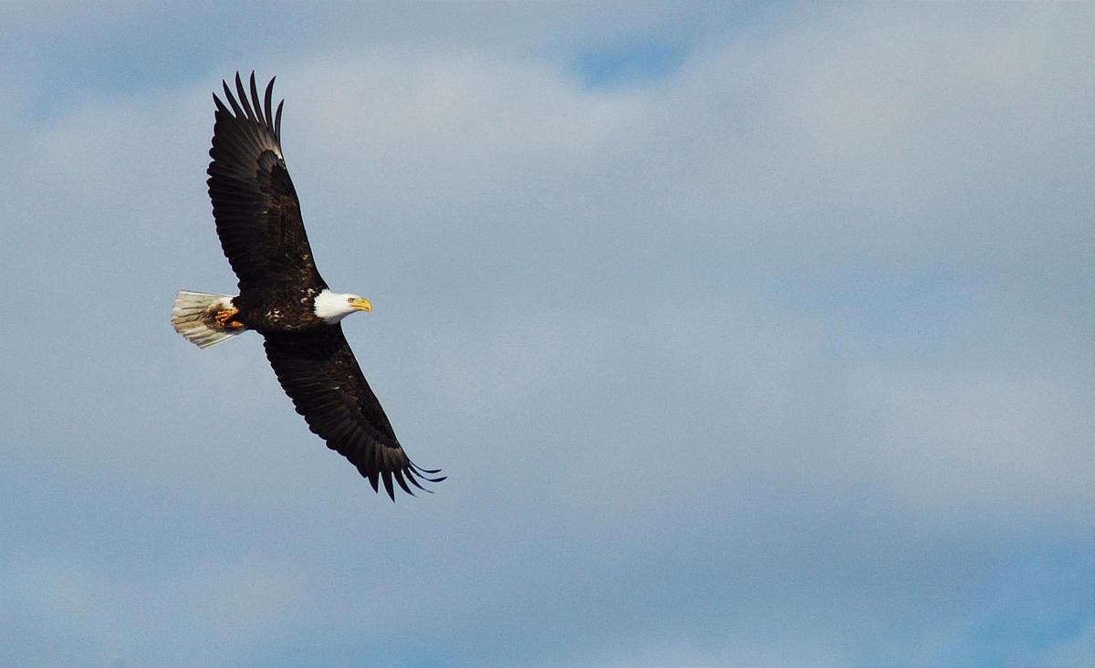 Bald eagle at Farmington Bay Waterfowl Management Area.