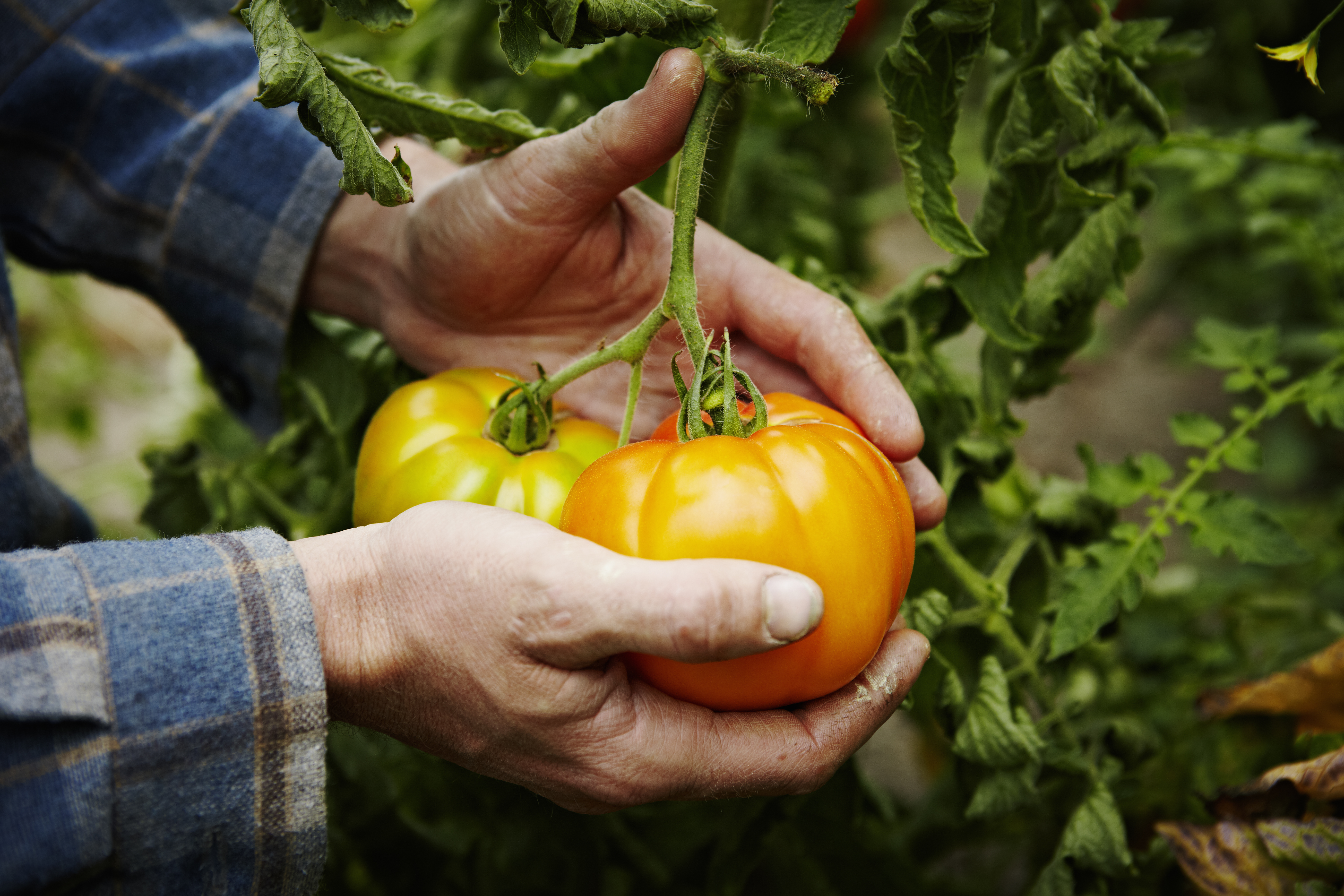 A farmer cradles two organic heirloom tomatoes on the vine in his hands.