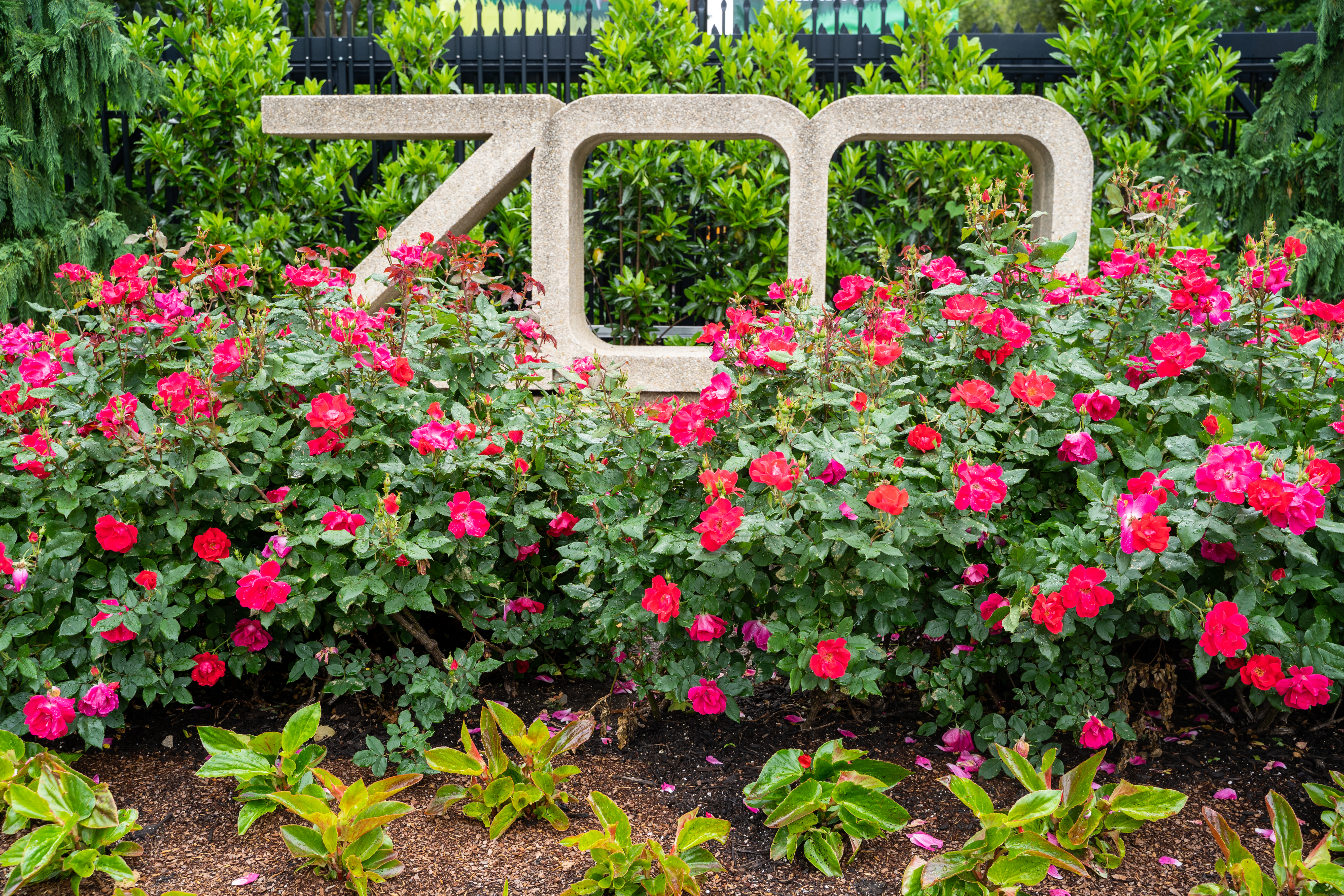 """A large """"Zoo"""" sign surrounded by red flowers."""