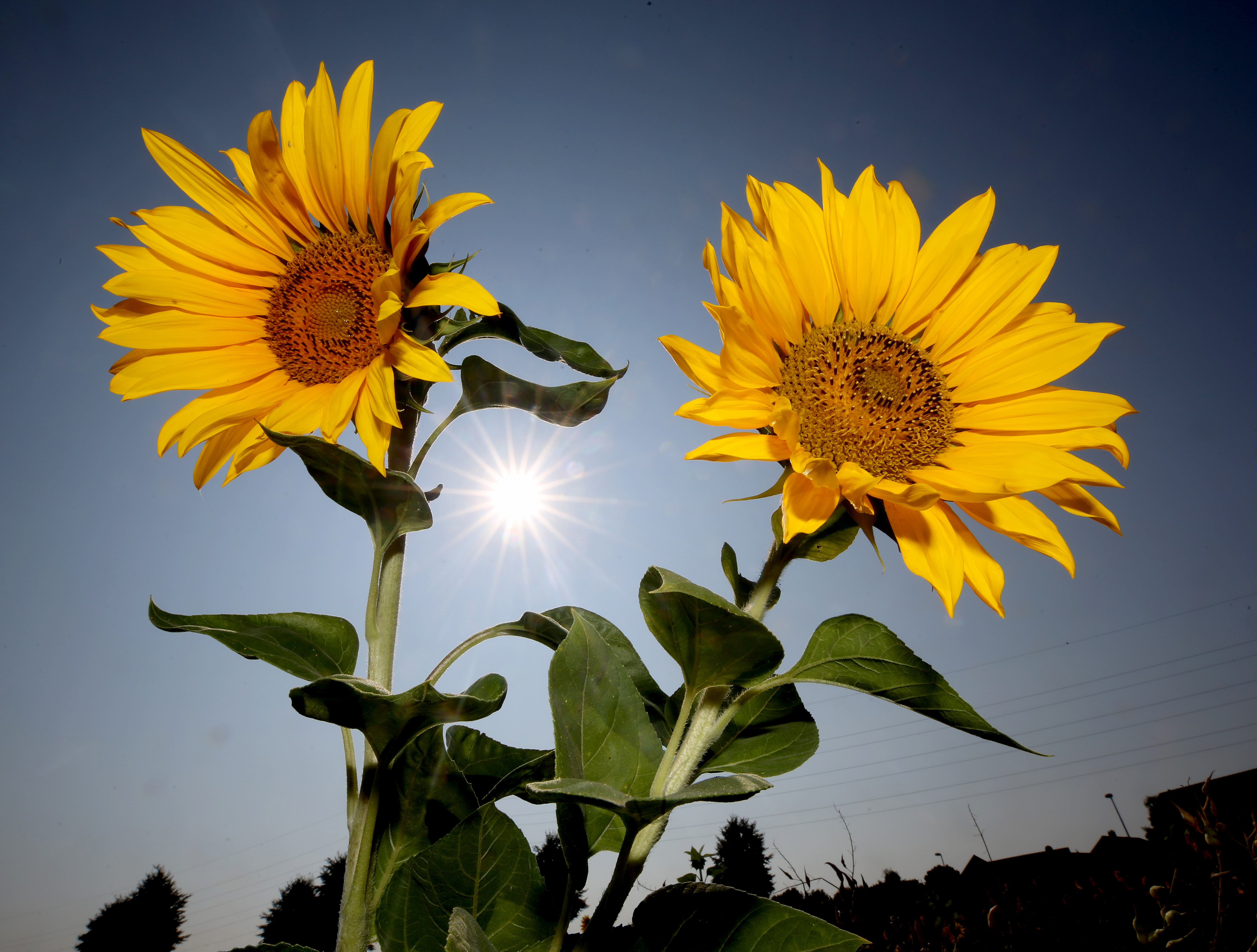 Sunflowers stand in the sun