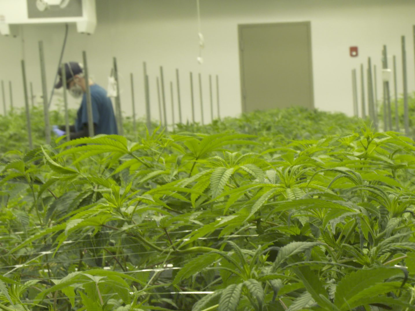 Cresco Labs' cannabis cultivation facility in Joliet. | Anne Costabile/Sun-Times