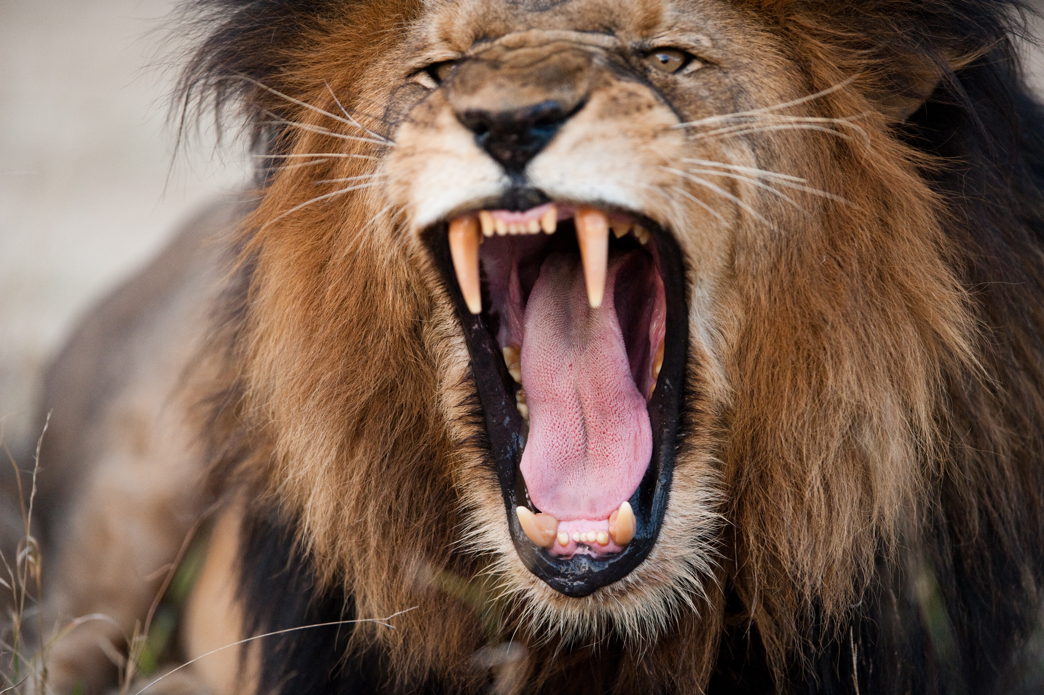 Close up of a male lion with a reddish mane roaring.