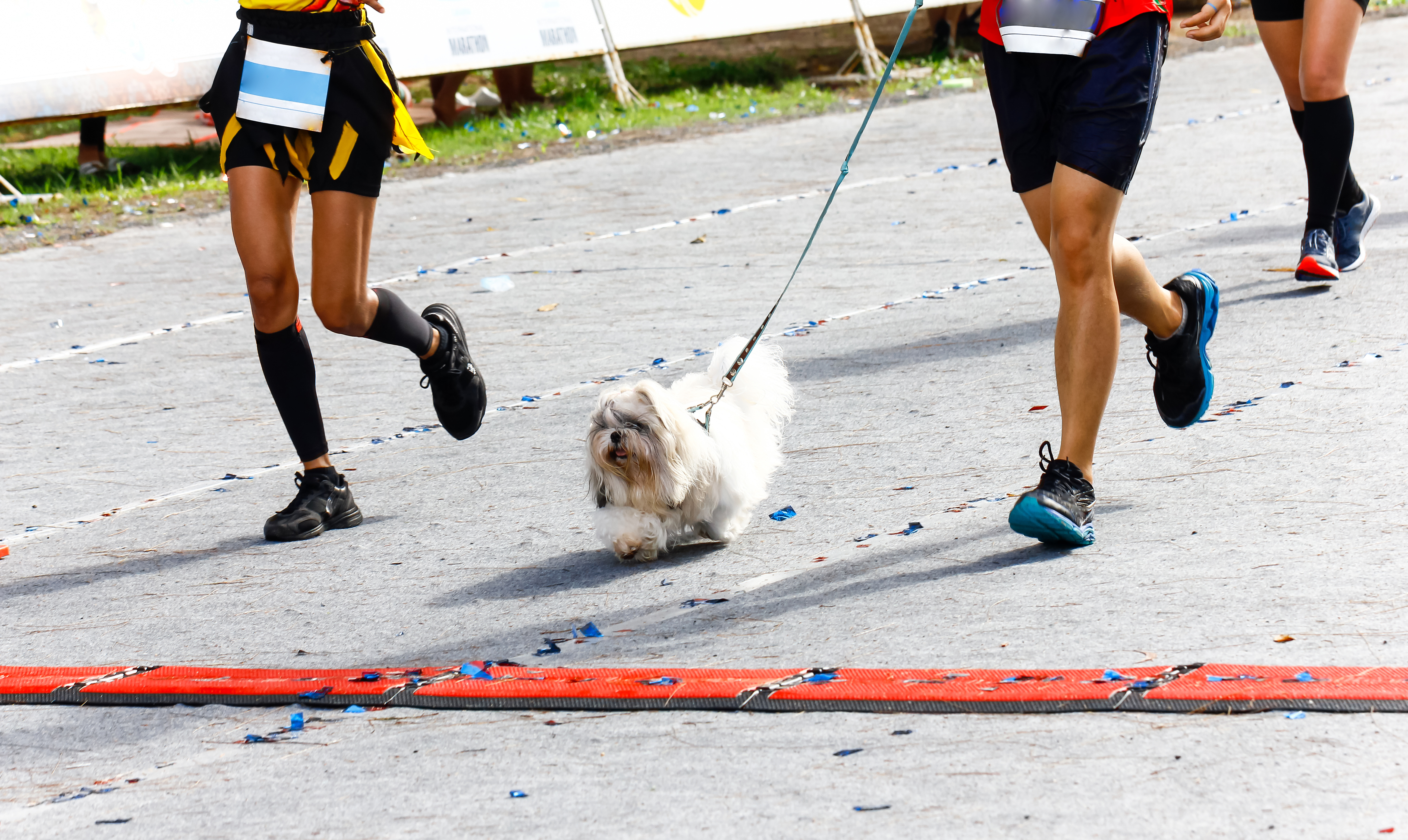 Legs of three runners on street. One has a small white fluffy dog on a leash running in front of them.