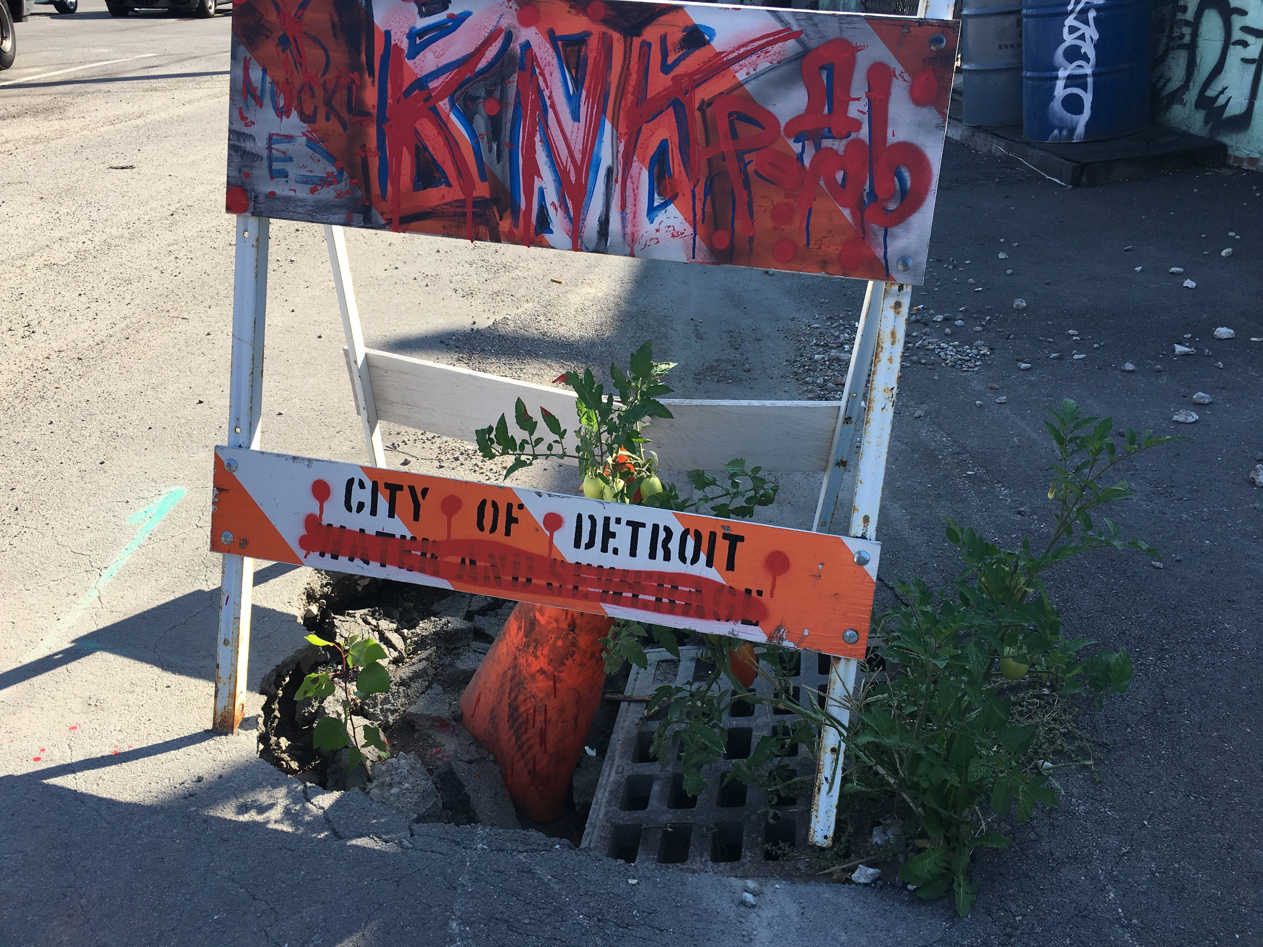 A tomato plant with mostly green fruit sprouts inside an orange sandwich board-type city of Detroit caution sign and orange cone sitting inside a pothole with a sewer grate.