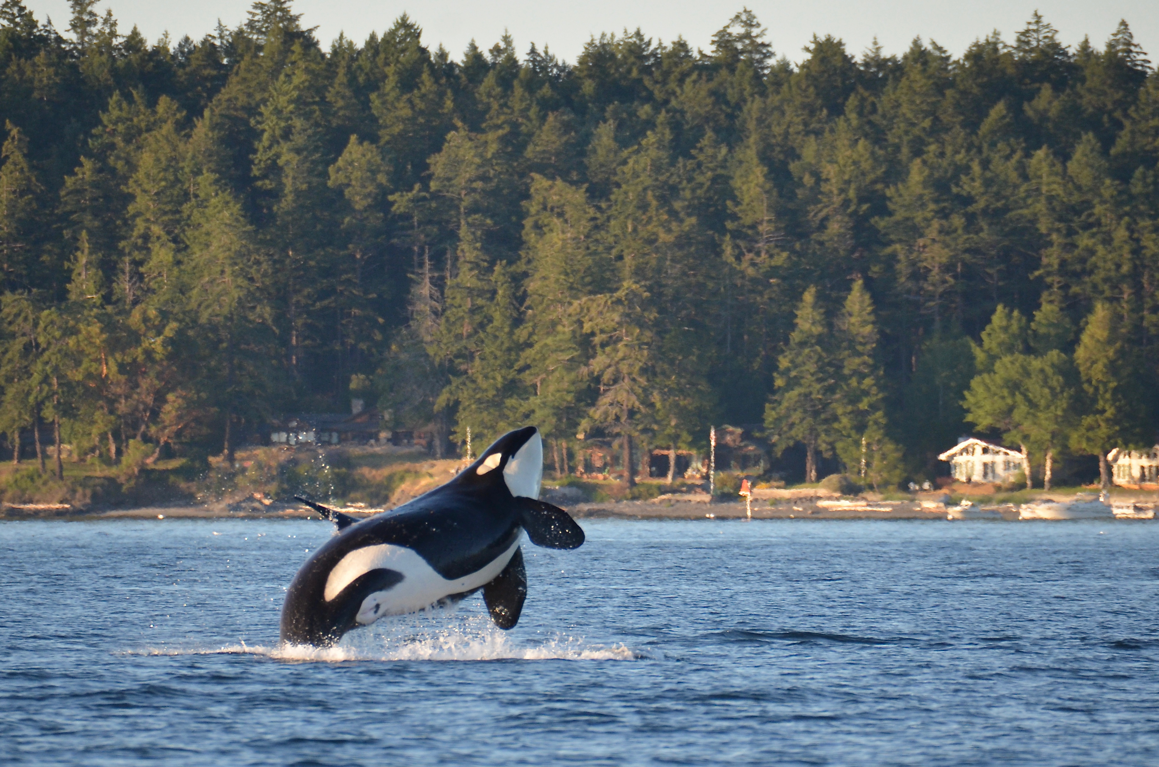 A black-and-white sea mammal (an orca) emerges from blue water. In the background, there's hilly land covered in evergreen trees with some residences along the shore.
