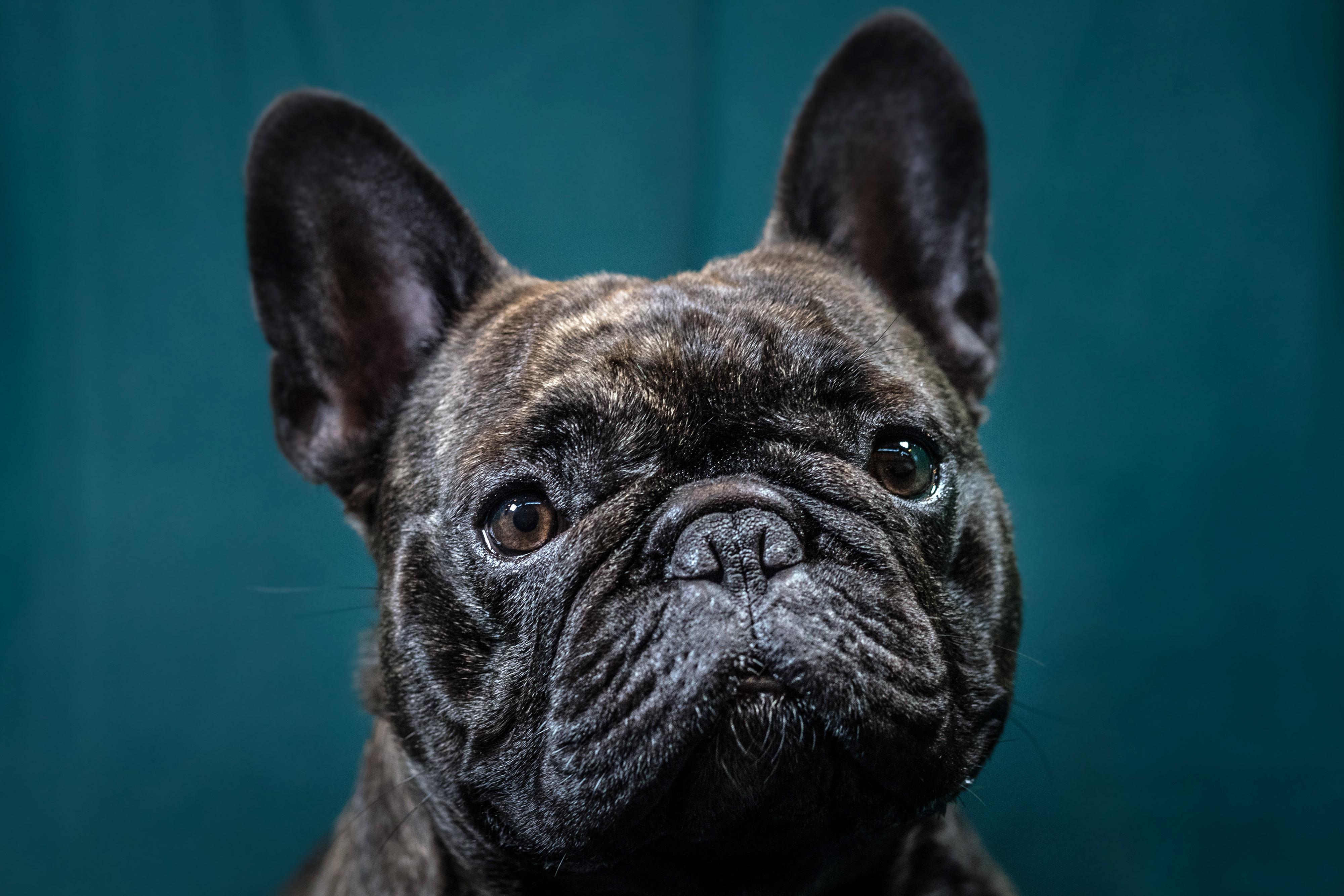 Crufts 2017 - Portraits Of Man's Best Friend
