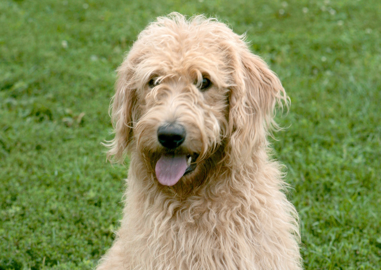 The Labradoodle —a cross between a poodle and Labrador retriever —was first bred not for its cute face or scruffy hair, but to solve a service dog problem.