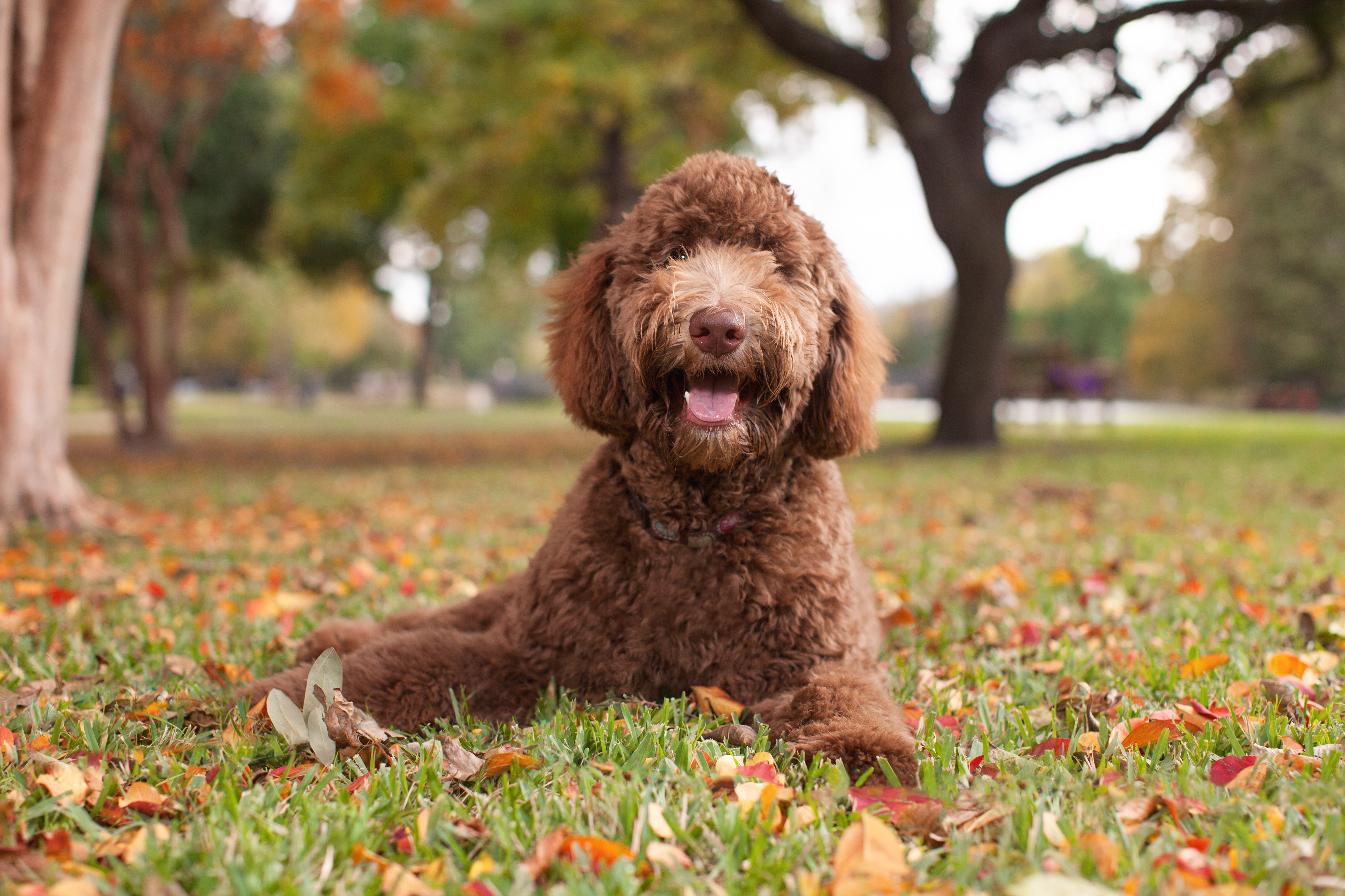 """Bred to be a guide dog for people who couldn't tolerate the hair of Labs but could handle a poodle'scoat, the Labradoodle was one of the first """"designer breeds"""" of dogs, which critics say may put breeder profit over animal care."""
