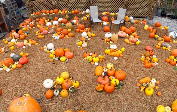 Groupings of pumpkins scattered around the ground.