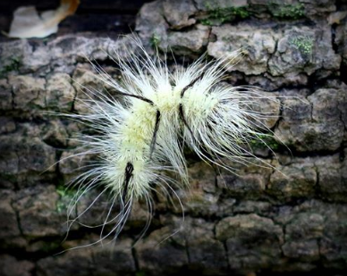 A photo from the Clare Area Chamber of Commerce of the American Dagger caterpillar.