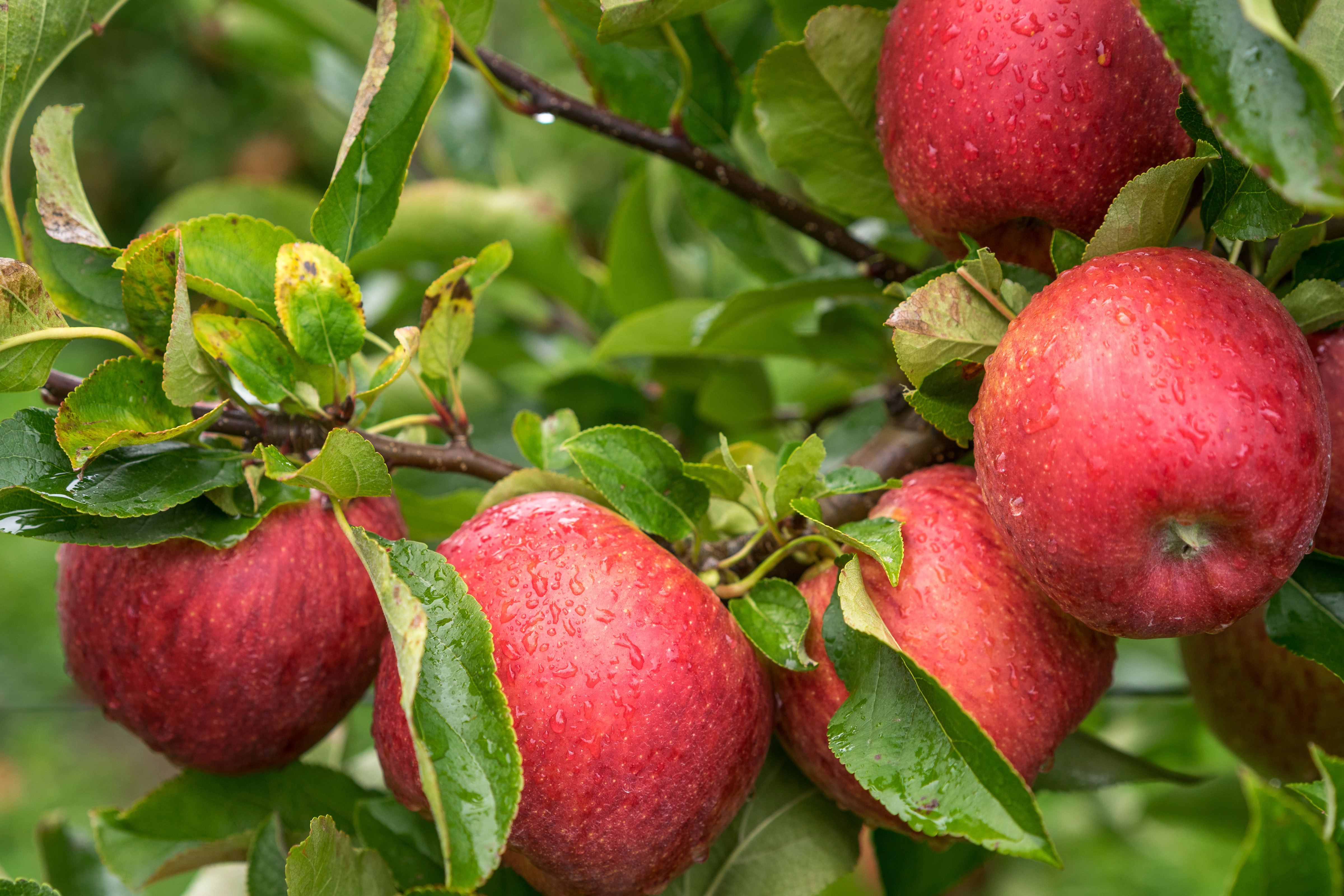 $15K Worth of Apples Vanish From Spicer Orchards