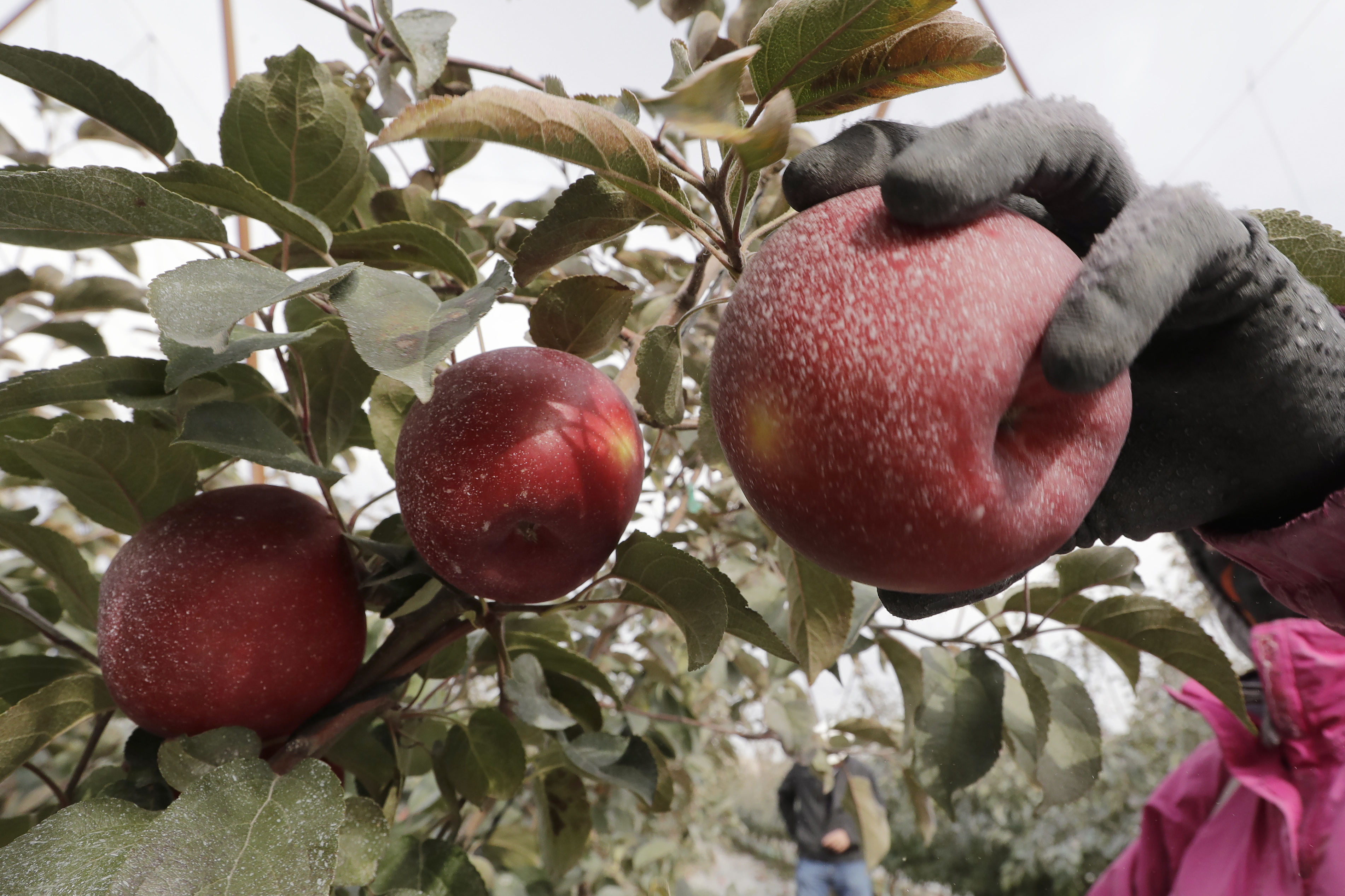 Already, growers have planted 12 million Cosmic Crisp apple trees, a sign of confidence in the new variety.