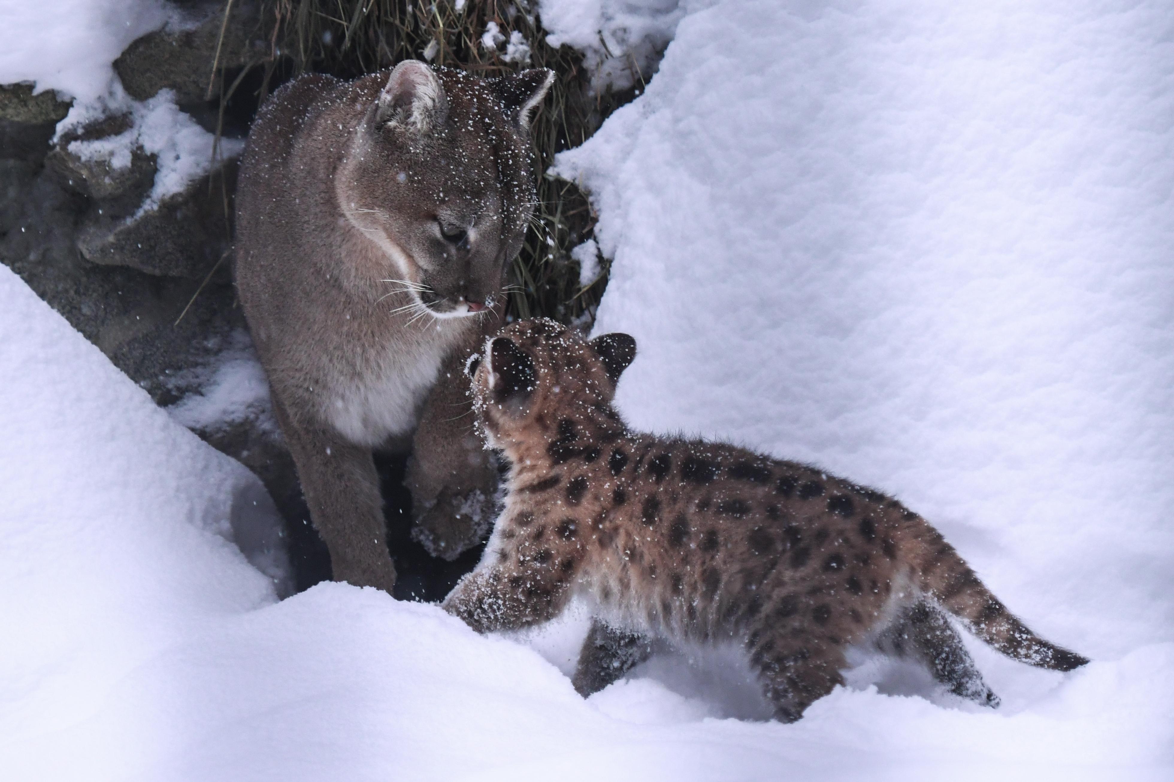 Newborn lynx kitten at Novosibirsk Zoo