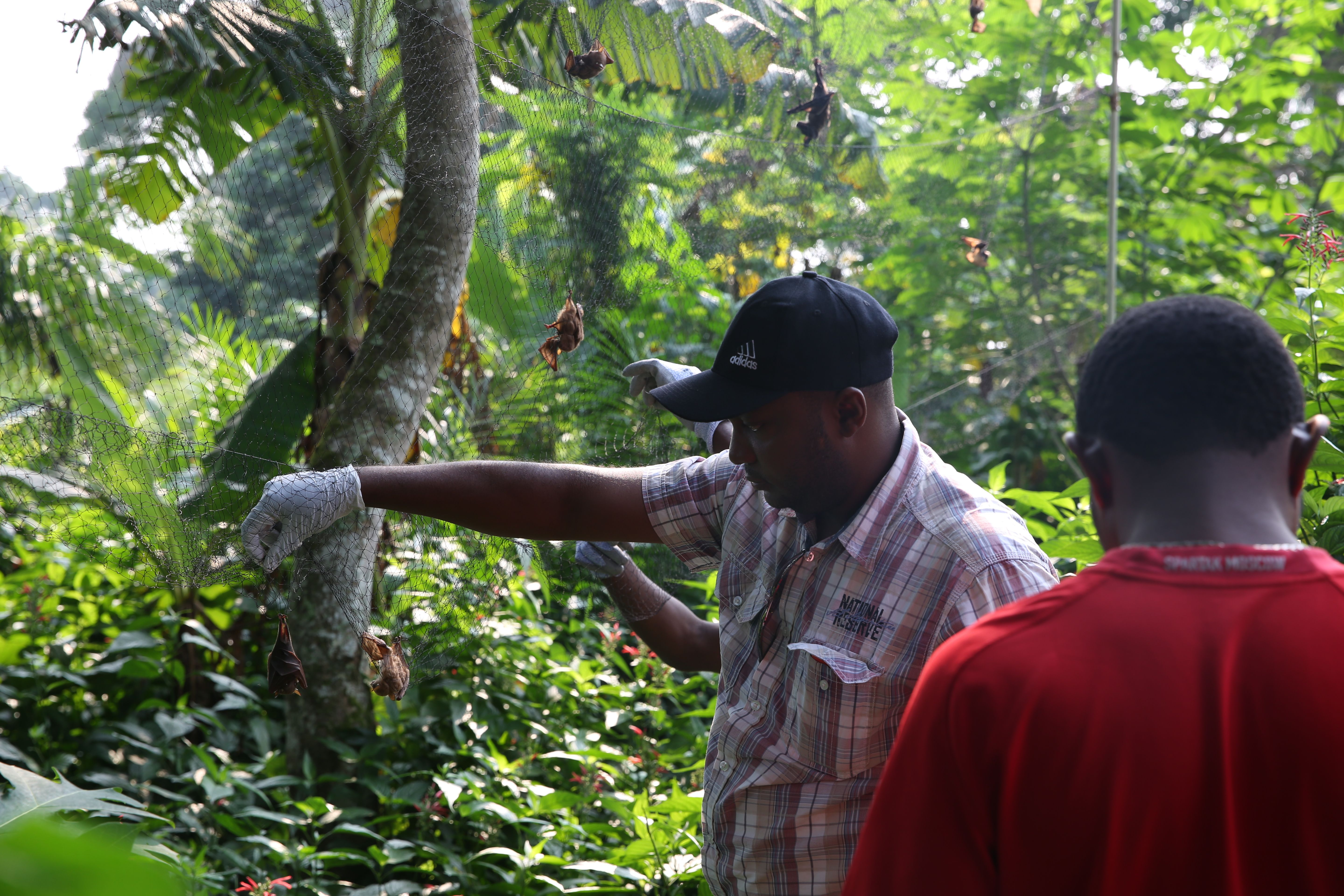 Two men in the rainforests of equatorial Africa check for bats caught in nets.