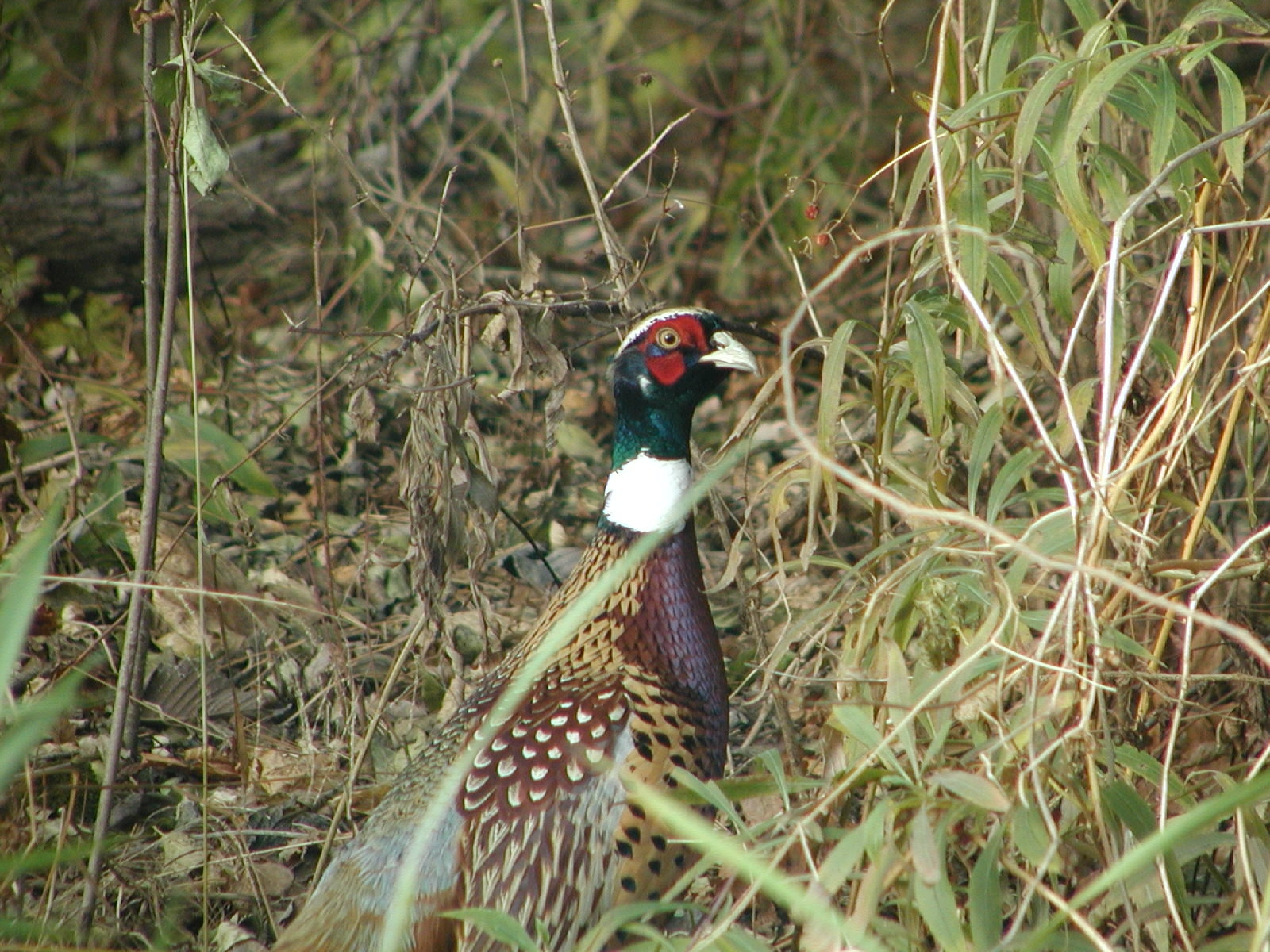 Stock photo of a pheasant in the field at Kankakee River State Park.