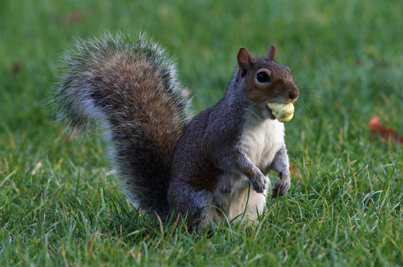 Squirrel eats acorns as U.K. considers acorns to be food again