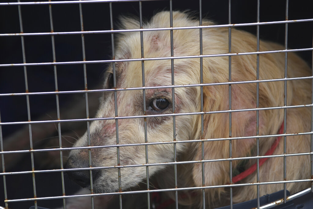 A dog taken from a property in Klingerstown, Pa., looks out from its cage during an animal cruelty investigation