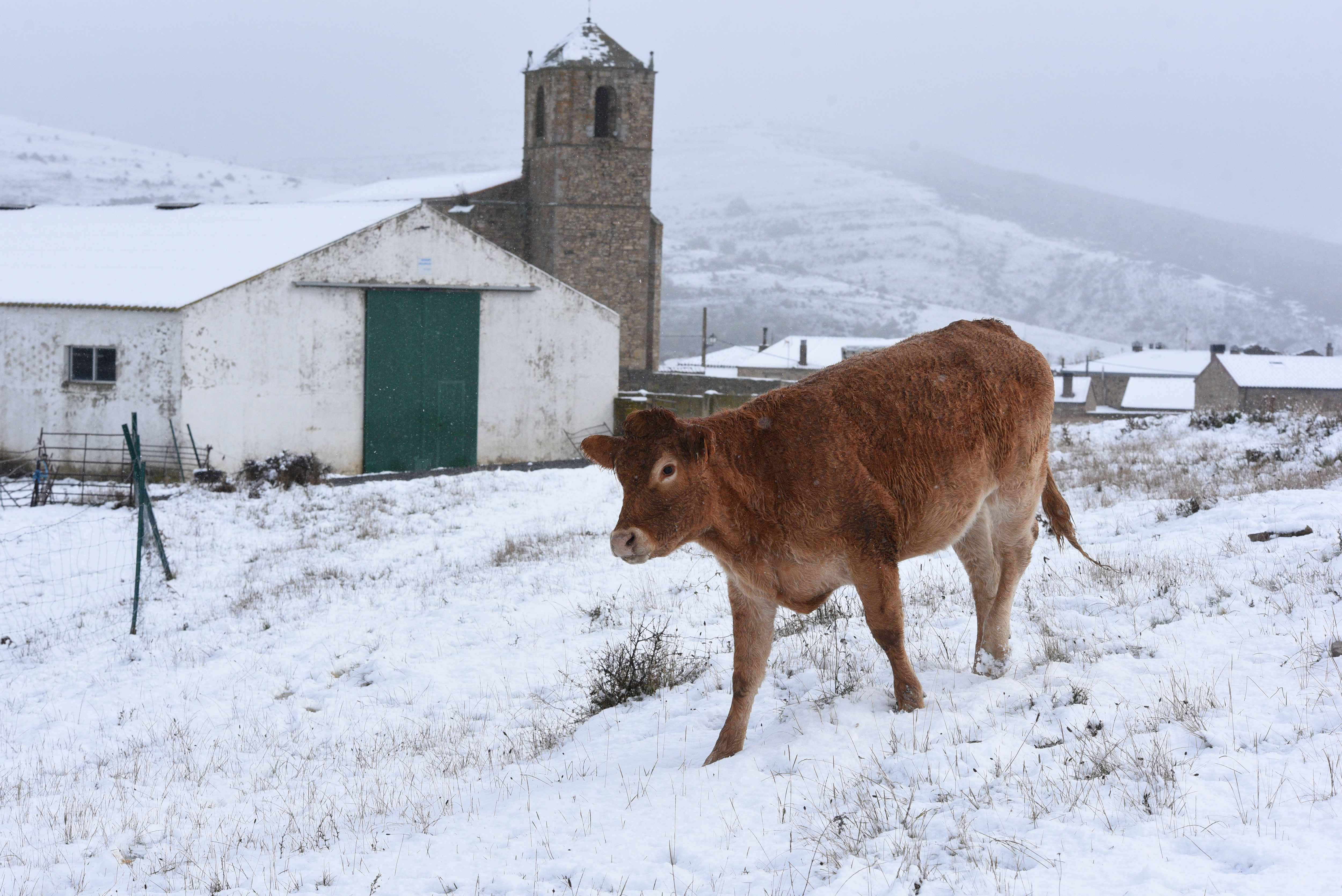 A cow is seen during a snowfall at the Oncala mountain (1,...