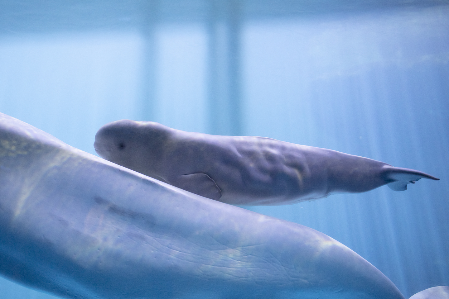 This beluga whale calf born at the Shedd Aquarium needs a name. Your vote will help decide what that name will be.