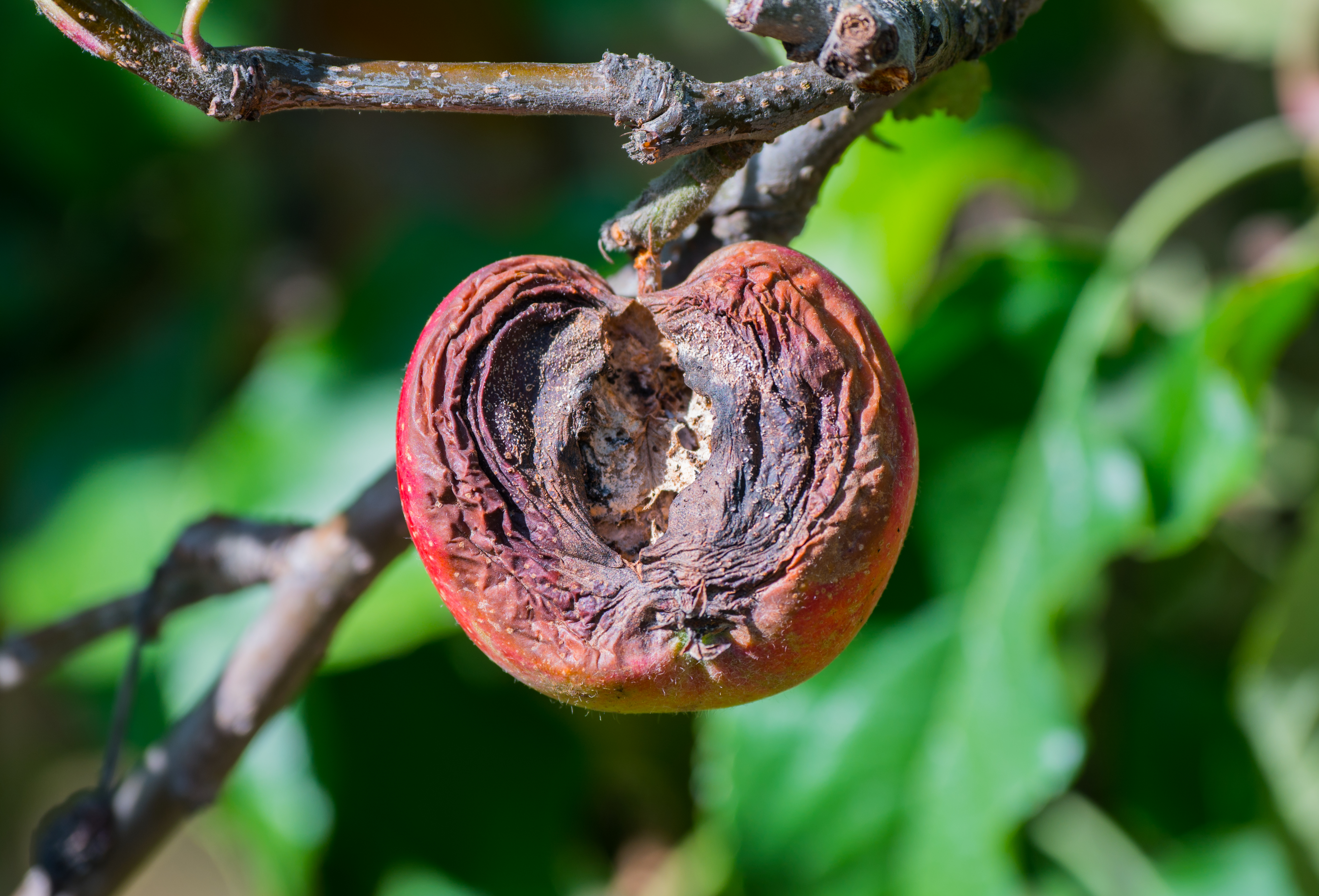 Rotted apple