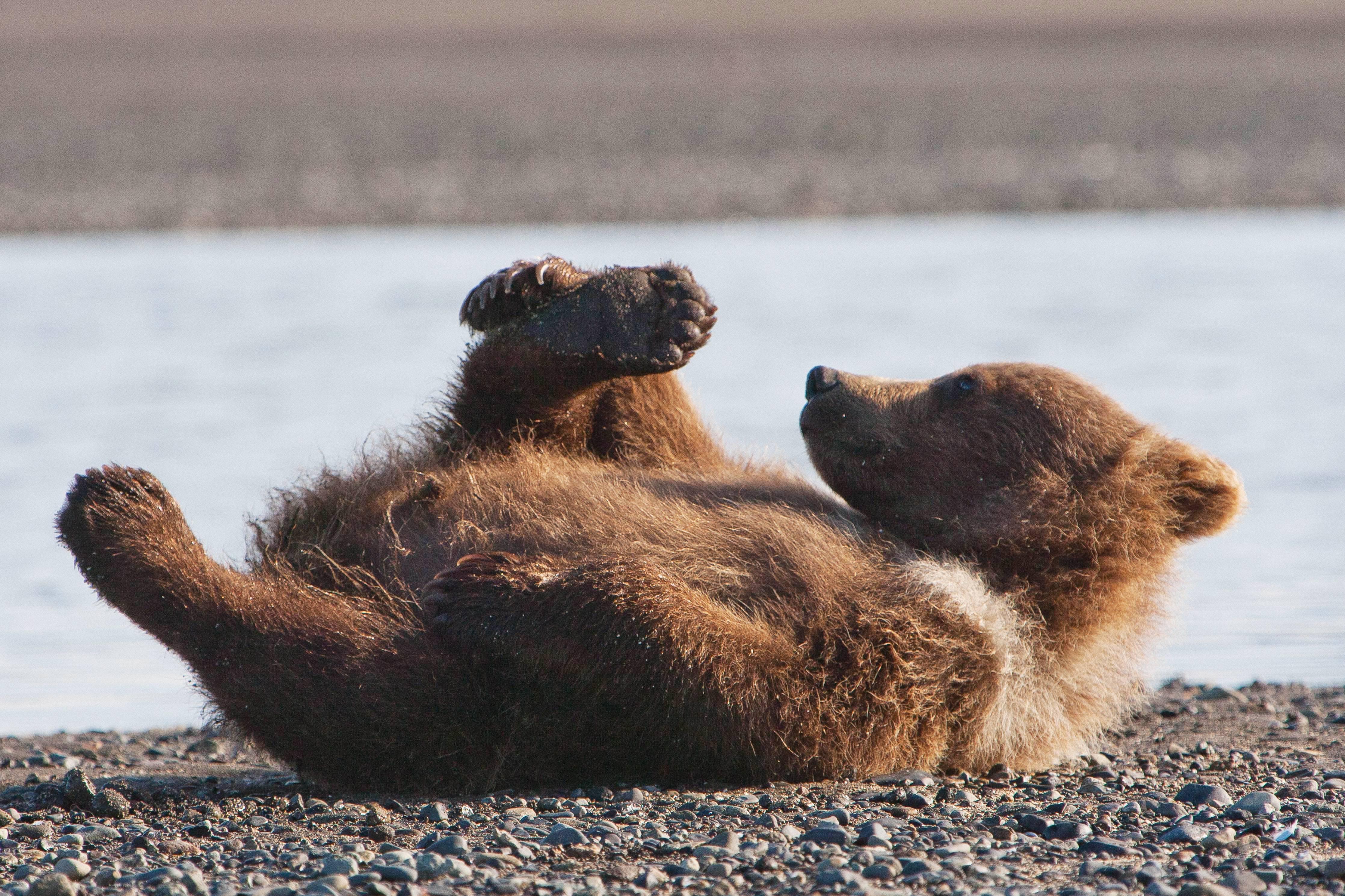 Bear Wars